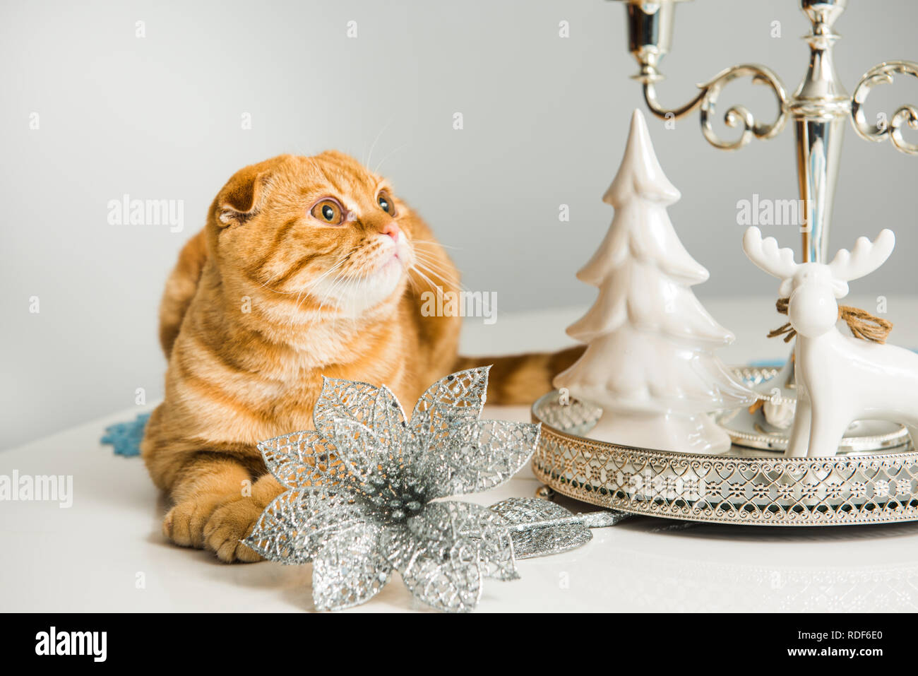 Scottish Fold red cat with candlestick Stock Photo