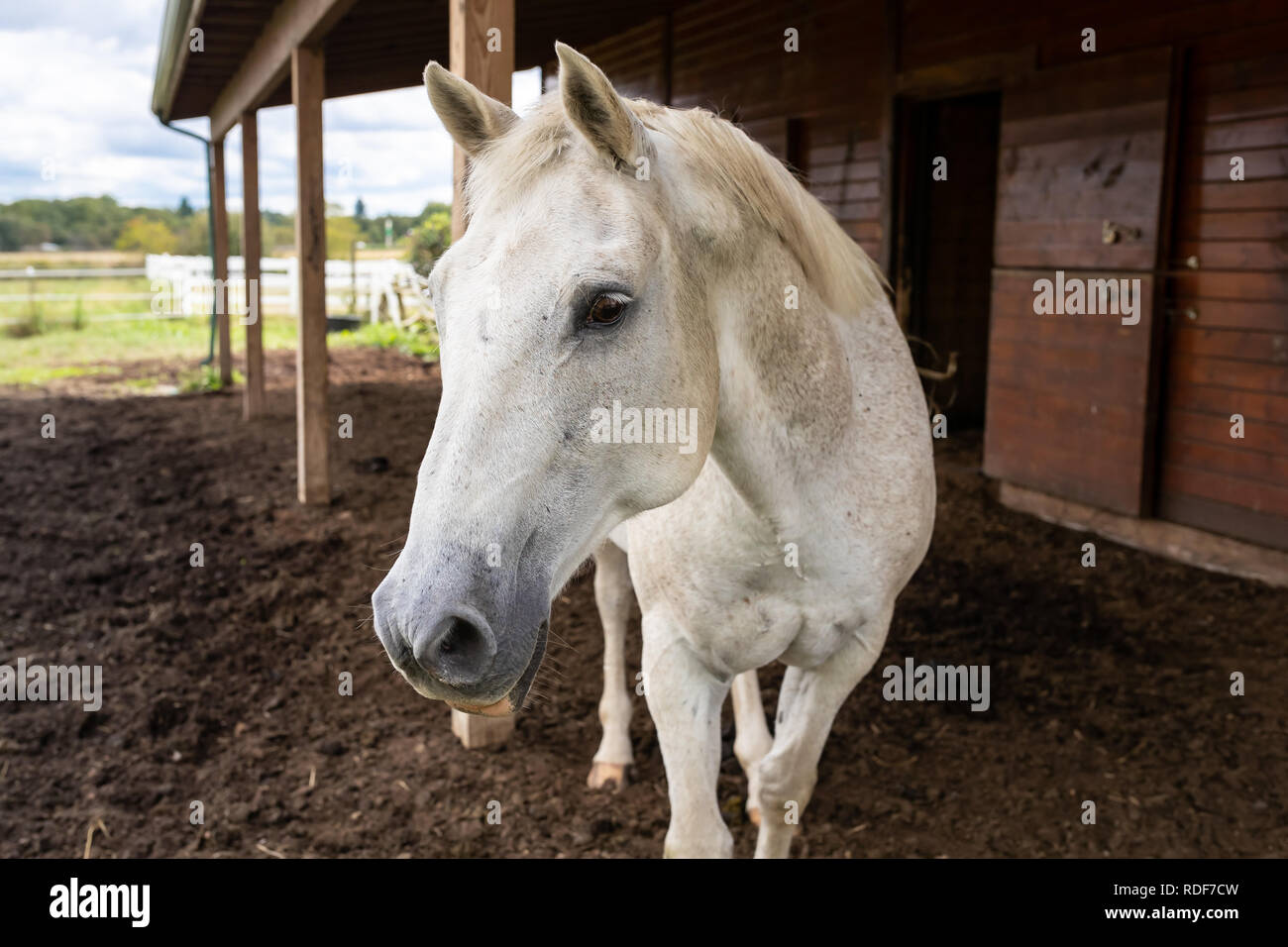 One curious white dapple quarter horse curiously approaches outside by the open barn. Sunny summer day in rural Pennsylvania countryside farmland. - Stock Image