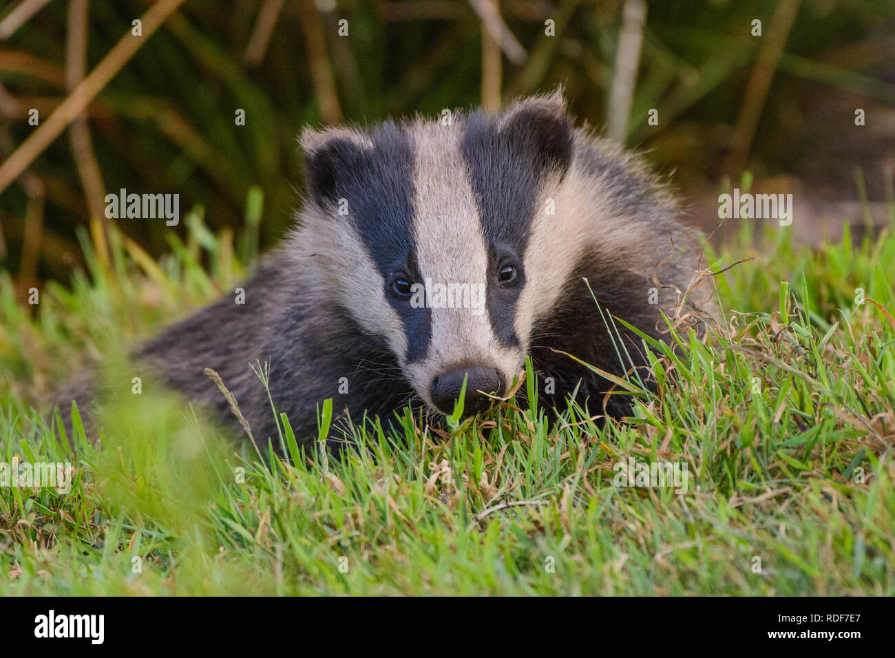 Wild Badger emerging from it's sett in Derbyshire's Peak District National Park. - Stock Image
