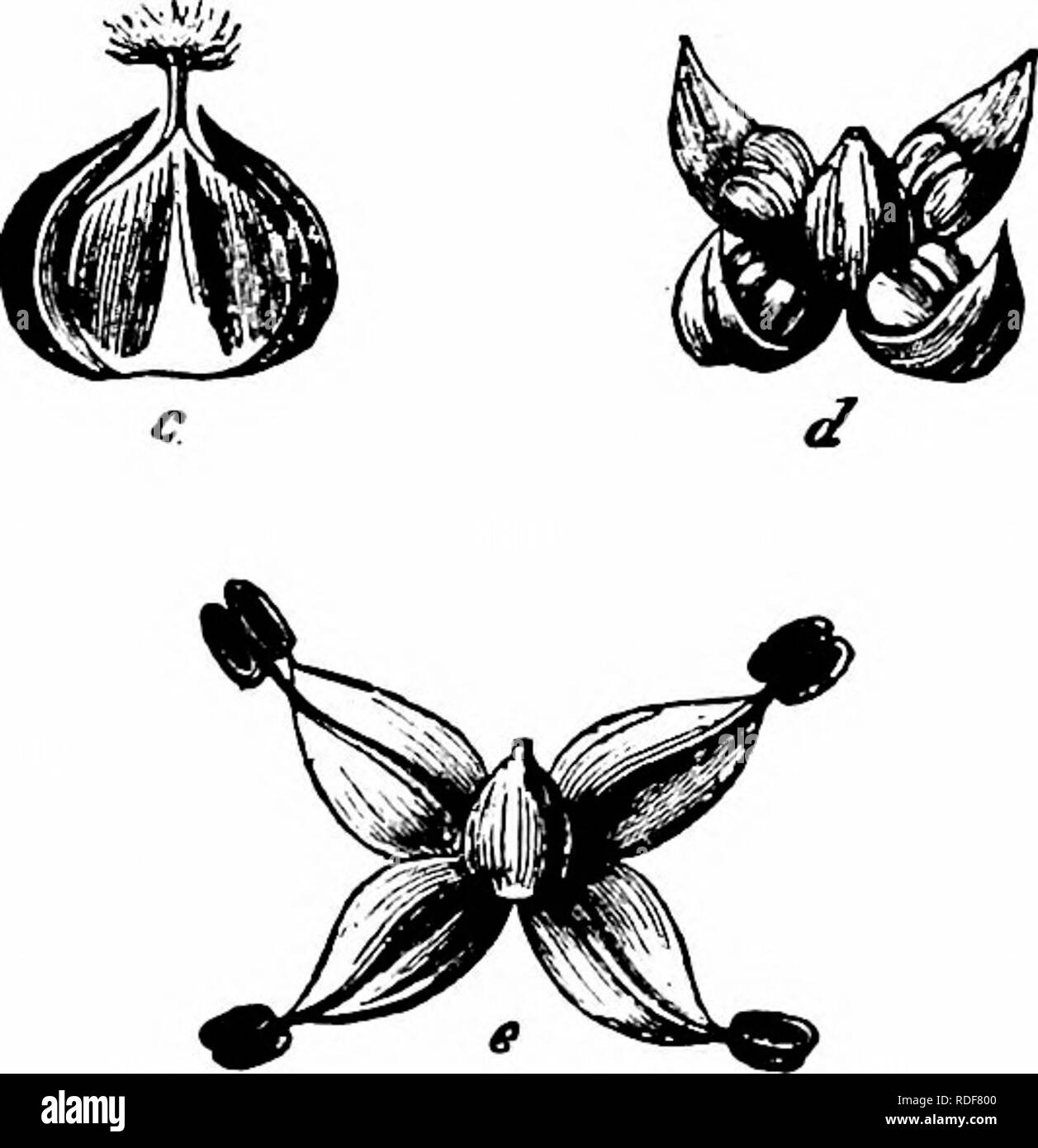 . Handbook of flower pollination : based upon Hermann Mu?ller's work 'The fertilisation of flowers by insects' . Fertilization of plants. 372 ANGIOSPERMAE—DICOTYLEDONES 2549. P. judaica L. (= P. diffusa Mert. et Koch, and P. ramiflora MoencK). (Hildebrand, ' D. Geschlechts-Vert. b. d. Pfl.,' pp. 18-19.)—In this species the brush-like stigmas protrude from the bud while the perianth is still closed, and are shrivelled before this opens and the anthers dehisce. Self-pollination is therefore excluded, and crossing with separate stocks always takes place. 2550. P. officinalis L. (= P. erecta Meri. - Stock Image