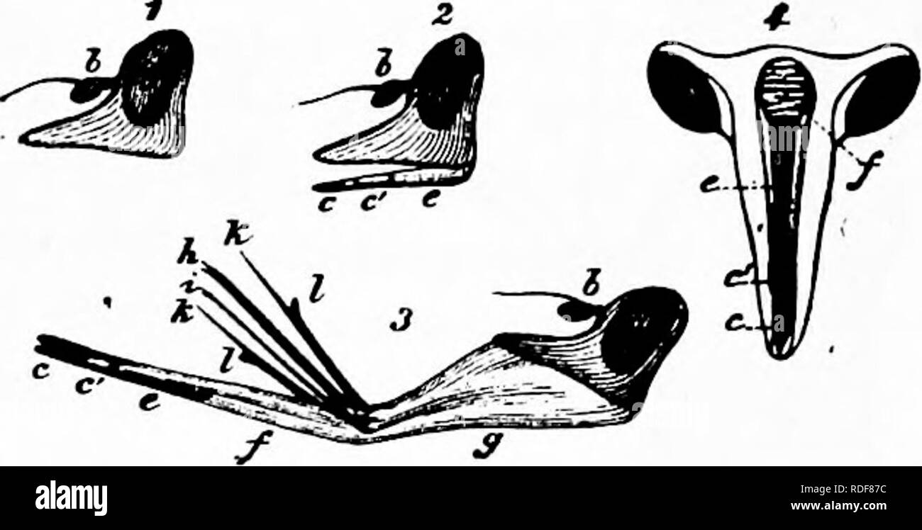 . Handbook of flower pollination : based upon Hermann MuÌller's work 'The fertilisation of flowers by insects' . Fertilization of plants. DIPTERAâHOVER-FLIES 177 to be enclosed in the labial groove. The insect now uses the end-flaps in one of two ways : it either folds them together (as in Fig. 73, i) while the membranous middle piece (y) of the labium is so far retracted that the suctorial apparatus enclosed in the labial groove protrudes in front of the flaps and dips into the fluid to be sucked; or else it spreads out and flattens the flaps so that their rough inner surfaces are closely app - Stock Image