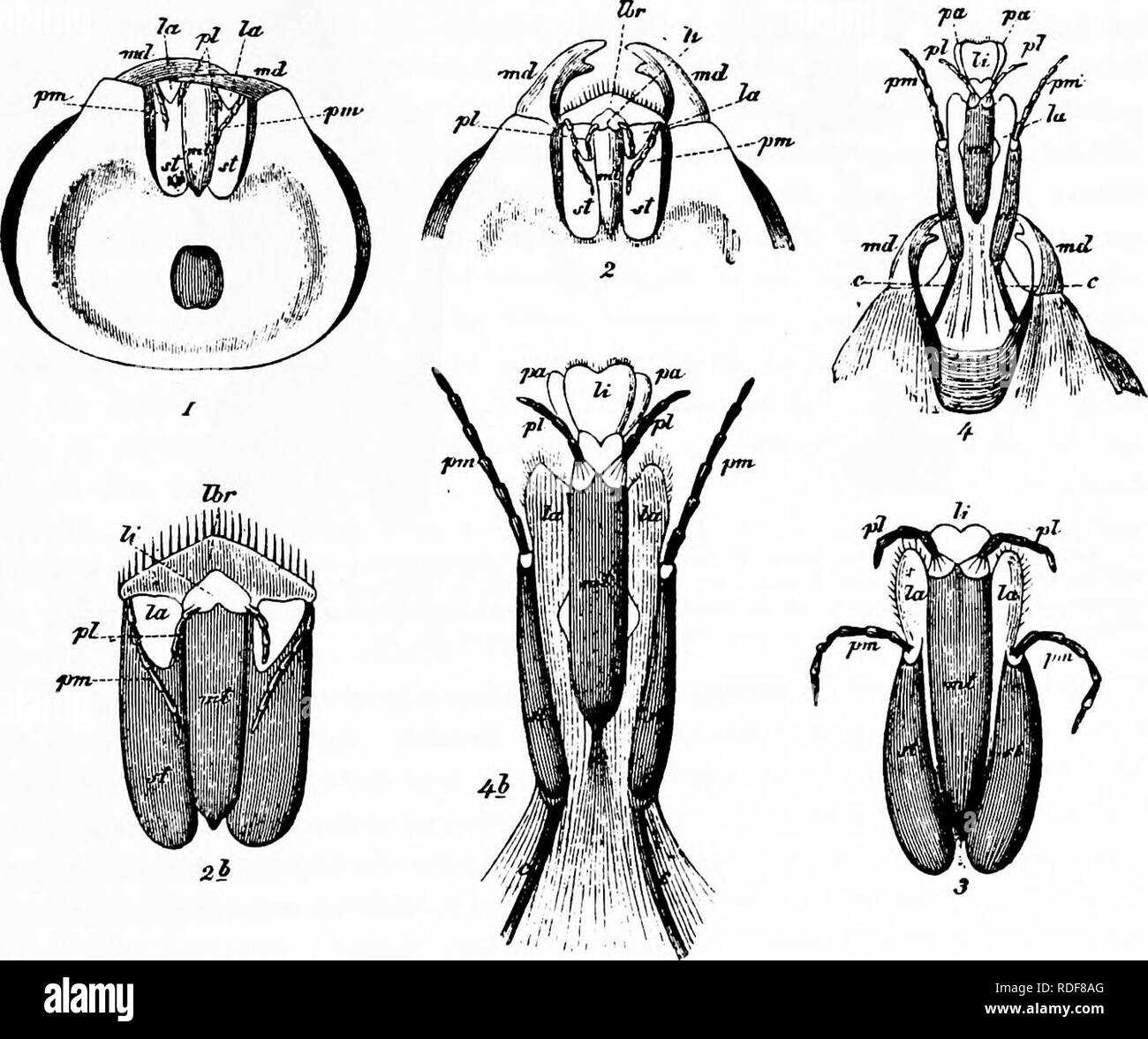 . Handbook of flower pollination : based upon Hermann Mu?ller's work 'The fertilisation of flowers by insects' . Fertilization of plants. HYMENOPTERA—BEES 151 the maxillae (la), the maxillary palps {/«), and the labial palps (/>/) are also turned downwards and backwards, and the mandibles (md) are brought together over the bases of these parts, at the same time overlapping the downwardly folded labrum (Fig. 64, 2, Ibr) and the retracted ligula {It). In the state of rest the mandibles alone retain their position unchanged, and are able, without alteration in the position of any other mouth-p Stock Photo