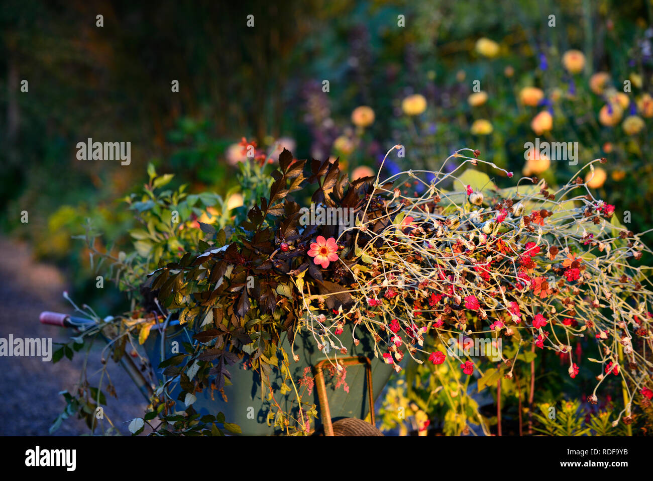 sunrise,dawn light,wheelbarrow,garden waste,garden clippings,trimmings,tidy,tidying,pruning,dead heading,flowers,flowering,dahlias,lychnis coronaria,t - Stock Image