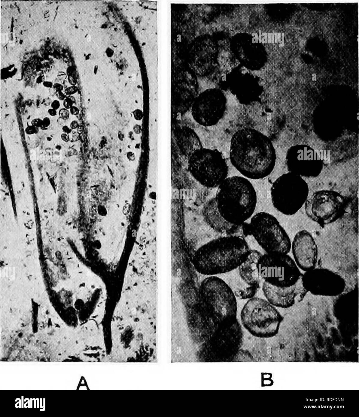 . Fossil plants : for students of botany and geology . Paleobotany. 270 COBDAITEAE [CH. sperinatozoids were developed. The microspores shown in fig. 482, B, have a maximum length of 0-1 mm.: Renault describes some as 0-9 mm. long while others are much smaller. Fig. 481, F, is a transverse section of a staminate inflorescence showing near the centre five groups of microsporangia, each sporangium having the form of a curved incomplete dark band indicating that de- hiscence has occurred.. Fig. 482. Gordaianthus. Microsporangia, A, and Microspores, B. (University College CoUeotion, London.) Mesoxy - Stock Image