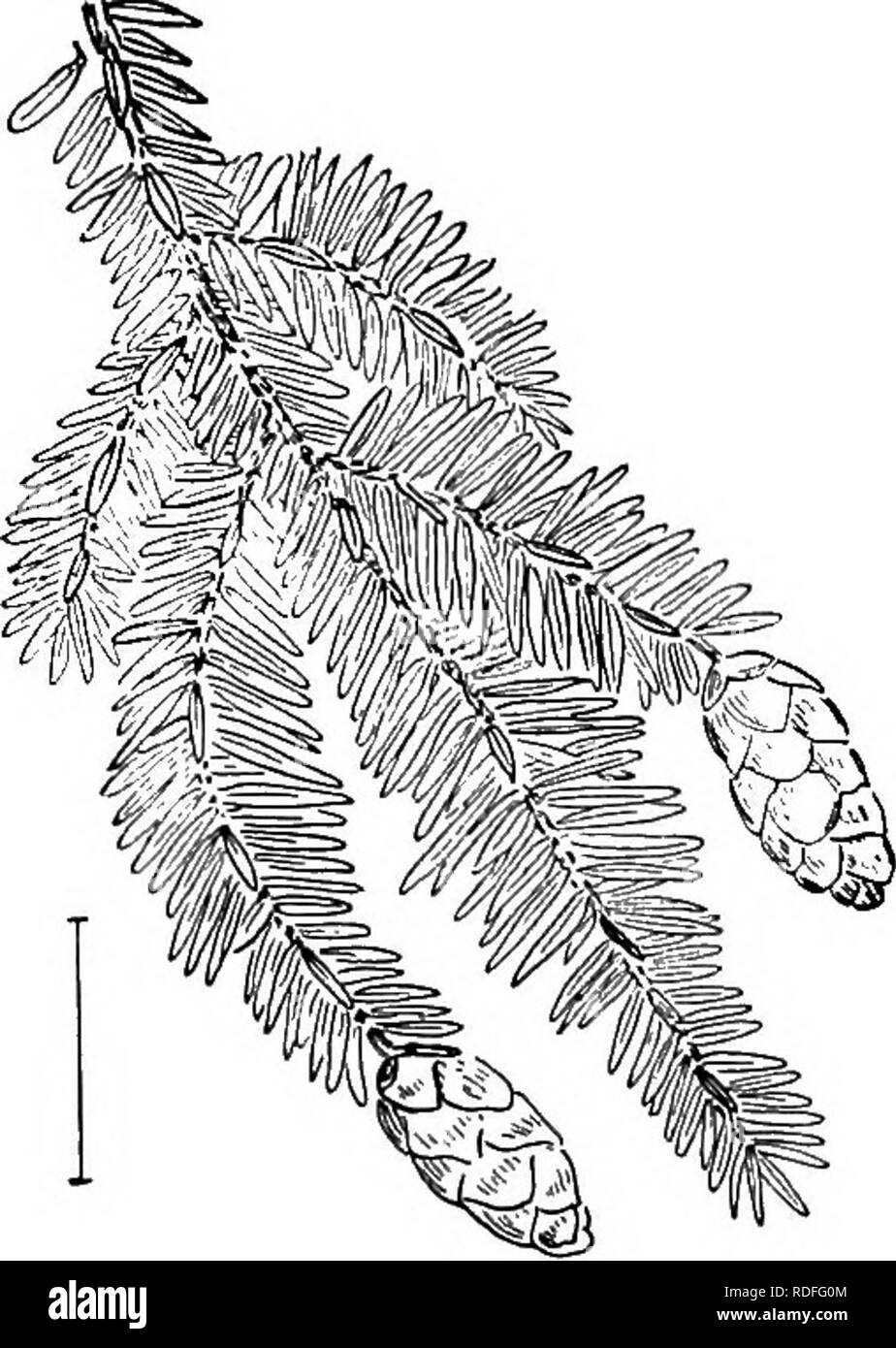 . Ornamental shrubs of the United States (hardy, cultivated). Shrubs. 326 DESCRIPTIONS OF THE SHRUBS Picea. The Spruces, are in the main tall tree-like evergreens with needle-like 4-angled leaves usually ^ to 1| inches long, attached to a grooved twig on brownish projections. The readiness with which the leaves fall from the severed twigs and the roughness of the twigs, due to these projecting points, are the hest distinctions for separating spruces from other cone-bearing plants. The commonest species in cultivation in this country is the Norway Spruce—Picea Abies(P. exc^lsa),—and of. Fig. 58 - Stock Image