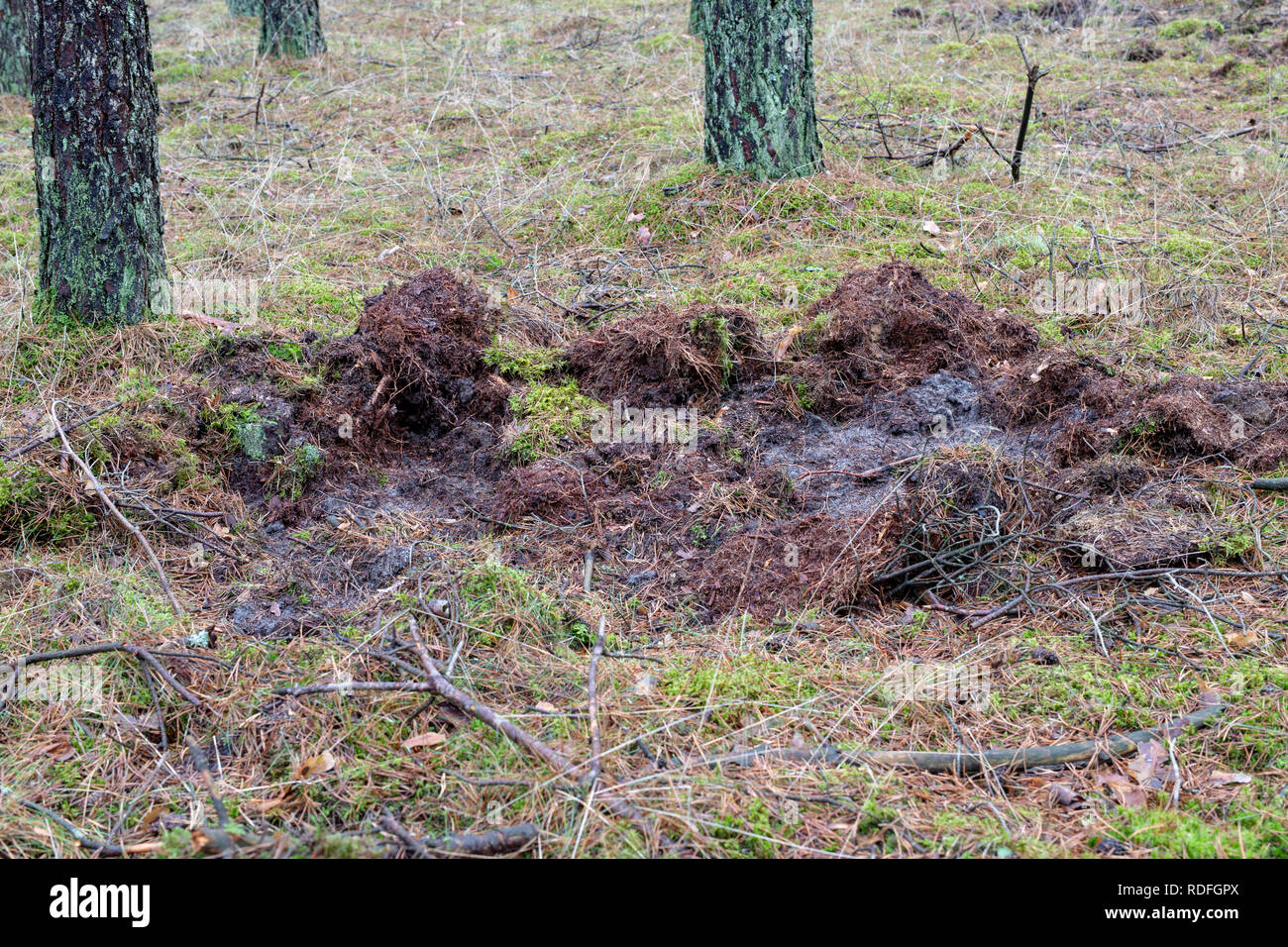 Traces of wild boar on a forest road. The place where the pack of wild boars stay in the forest. Season winter. - Stock Image