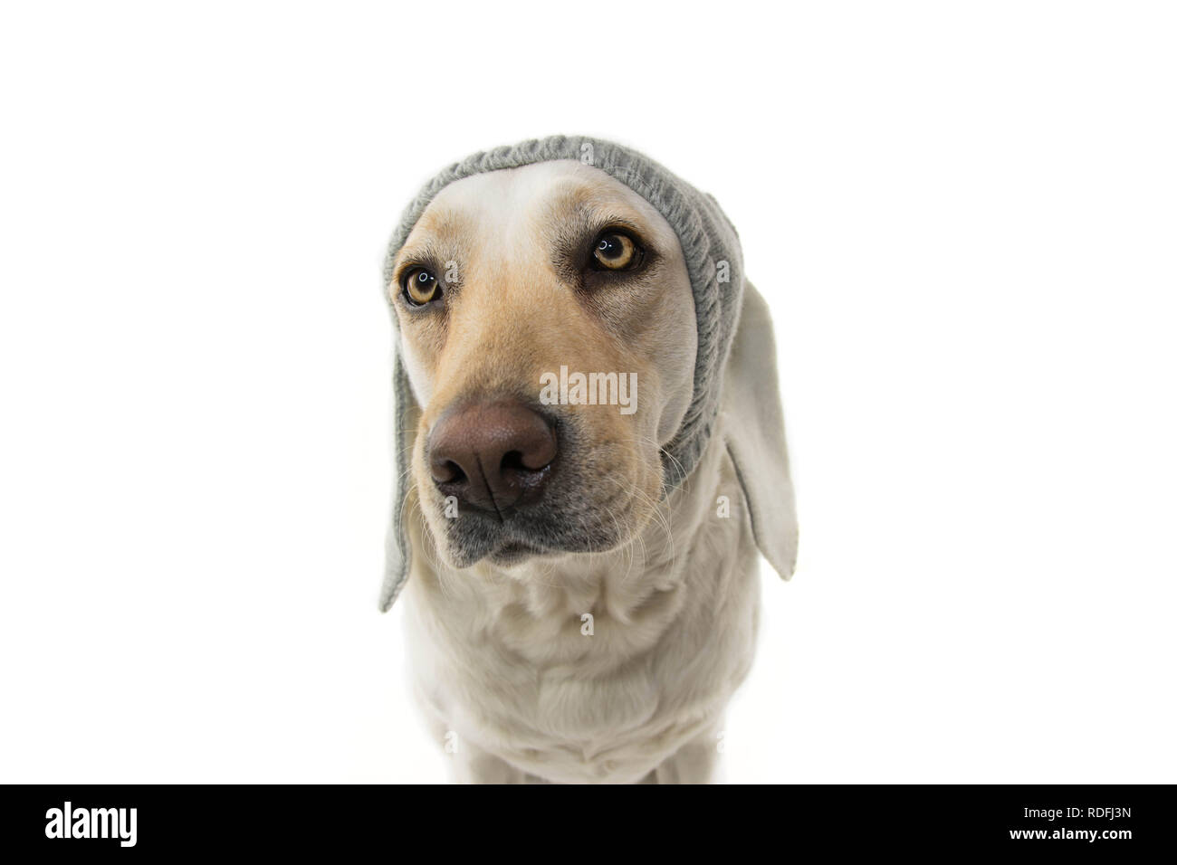 FUNNY EASTER DOG. LABRADOR PUPPY WITH RABBIT EARS. ISOLATED STUDIO SHOT AGAINST WHITE BACKGROUND. - Stock Image