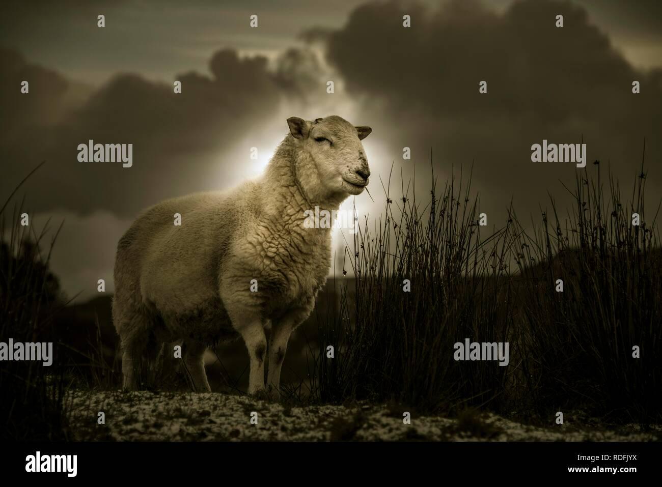Scottish Domestic sheep (Ovis gmelini aries) in a meadow, Isle of Sky, Scotland, United Kingdom - Stock Image