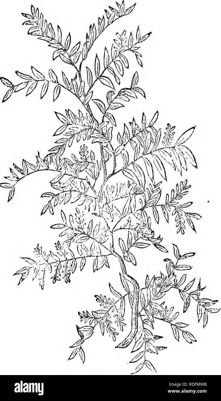 . Trees and shrubs : an abridgment of the Arboretum et fruticetum britannicum : containing the hardy trees and schrubs of Britain, native and foreign, scientifically and popularly described : with their propagation, culture and uses and engravings of nearly all the species. Trees; Shrubs; Forests and forestry. 413. Gleditgchia (t.) monosp&mZ' though smooth when the tree is young, yet cracks and scales off when the tree grows old, as in G. triacan- thos. The leaves, Michaux says, differ from those of G. triacanthos, in being a little smaller in all their pro- portions. The branches are arme Stock Photo