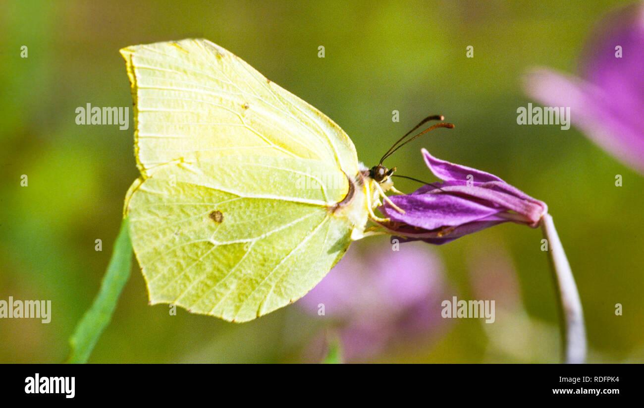 Underside of Brimstone butterfly Gonepteryx  rhamni  taking nectar from a flower head in the English summer UK Stock Photo