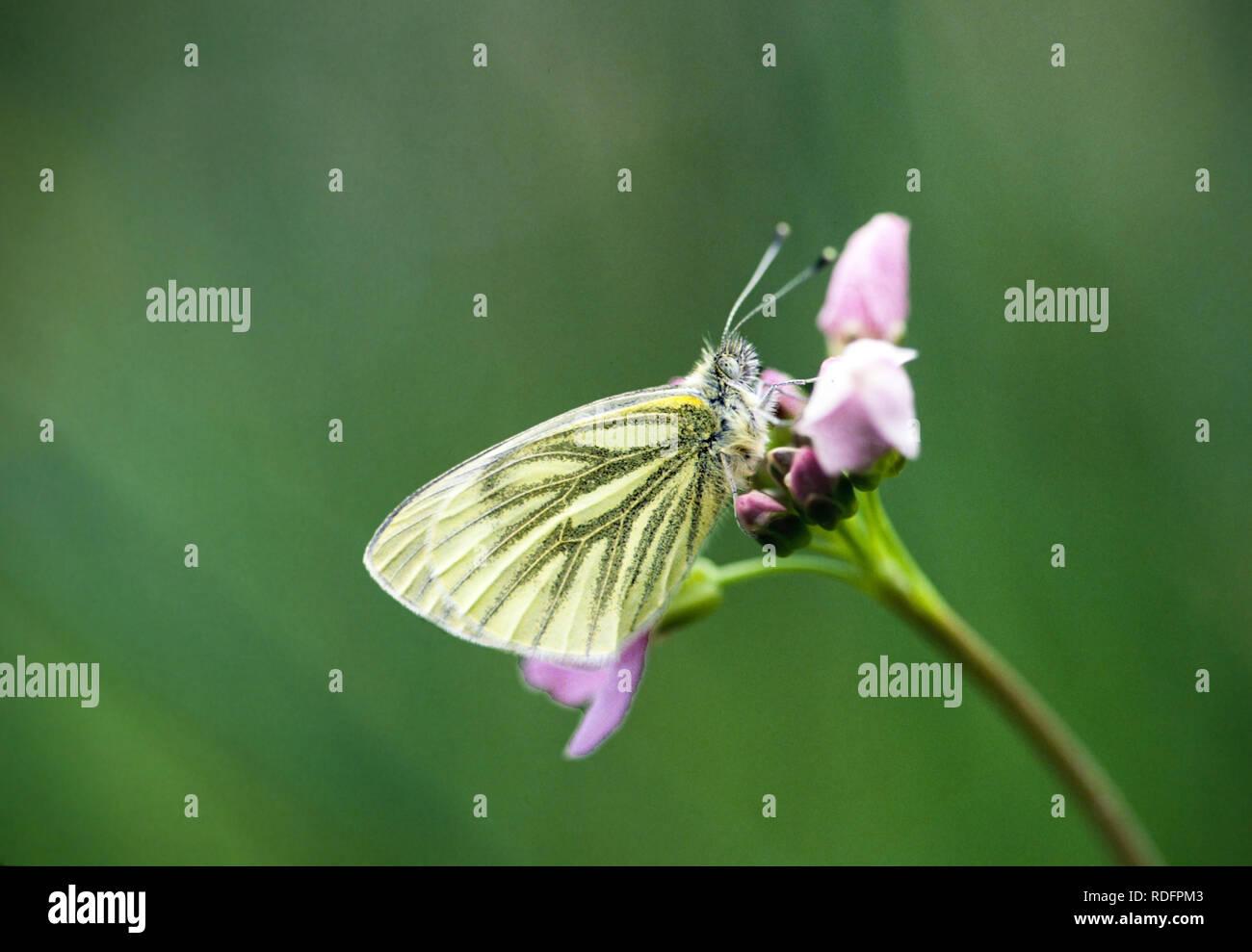 Underside of Green-veined white butterfly Pieris napi  on Lady Smock flower England UK - Stock Image