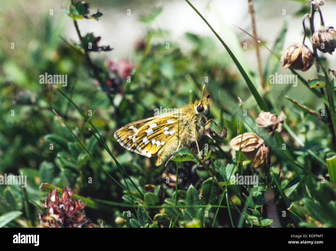 Silver Spotted Skipper butterfly Hesperia comma on Watlington Hill in Oxfordshire England UK Stock Photo