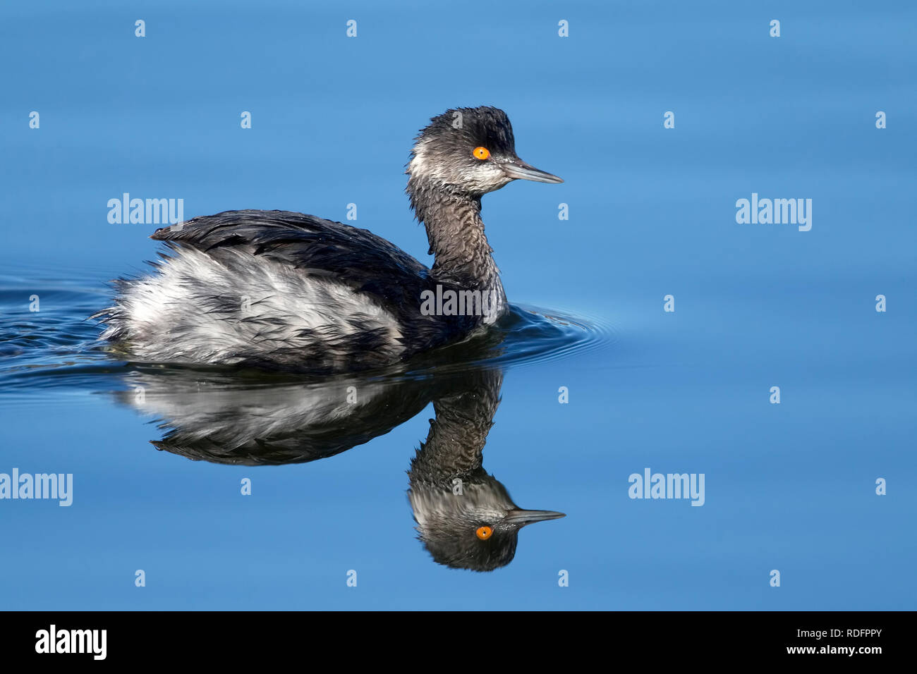Eared Grebe with reflection in still water - Stock Image