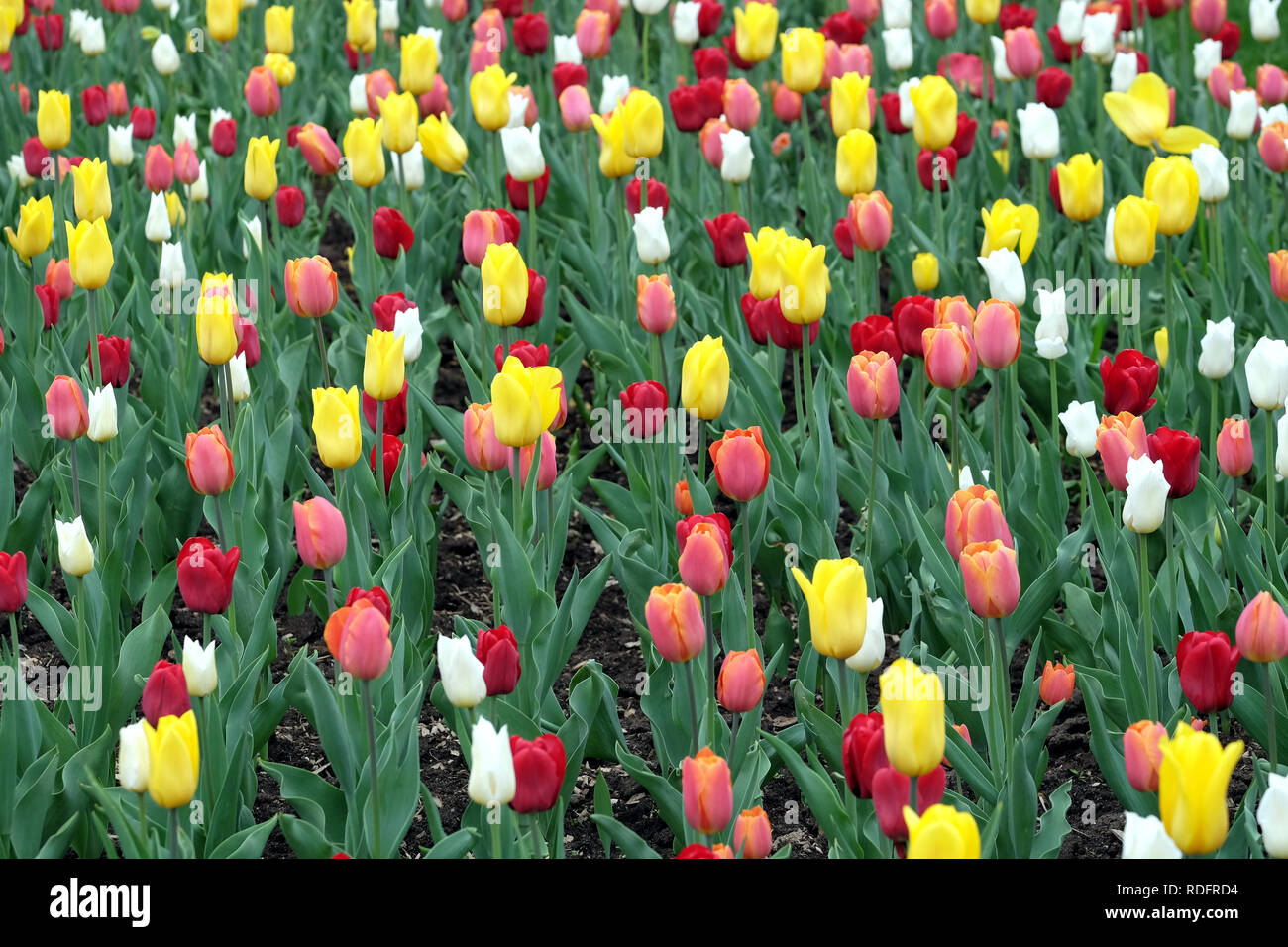 Many colorful gentle tulips in the garden in sunny spring day closeup view Stock Photo