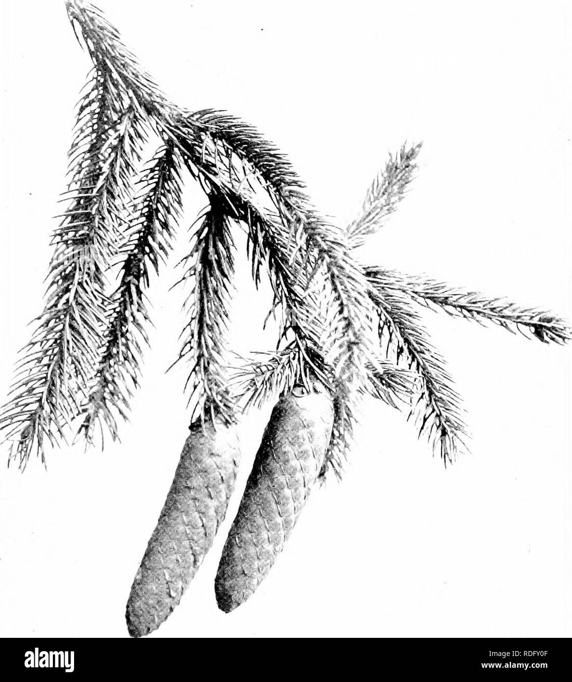 . Our native trees and how to identify them; a popular study of their habits and their peculiarities. Trees. NORWAY bFRUCE. Fruiting Spray of Norway Spruce, Picea excelsa. Cones 4' to 6' long.. Please note that these images are extracted from scanned page images that may have been digitally enhanced for readability - coloration and appearance of these illustrations may not perfectly resemble the original work.. Keeler, Harriet L. (Harriet Louise), 1846-1921. New York, C. Scribner's Sons - Stock Image