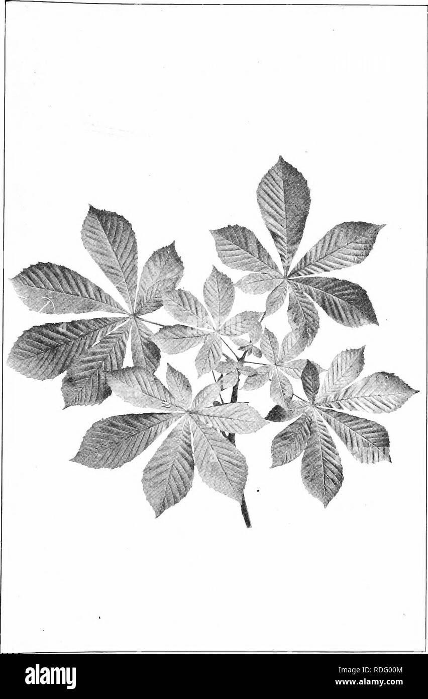 . Our native trees and how to identify them; a popular study of their habits and their peculiarities. Trees. HORSE-CHESTNUT. Spray of Horse-chestnut, /Esculus hippocastanum. Leaflets 5' to 7' long.. Please note that these images are extracted from scanned page images that may have been digitally enhanced for readability - coloration and appearance of these illustrations may not perfectly resemble the original work.. Keeler, Harriet L. (Harriet Louise), 1846-1921. New York, C. Scribner's Sons - Stock Image