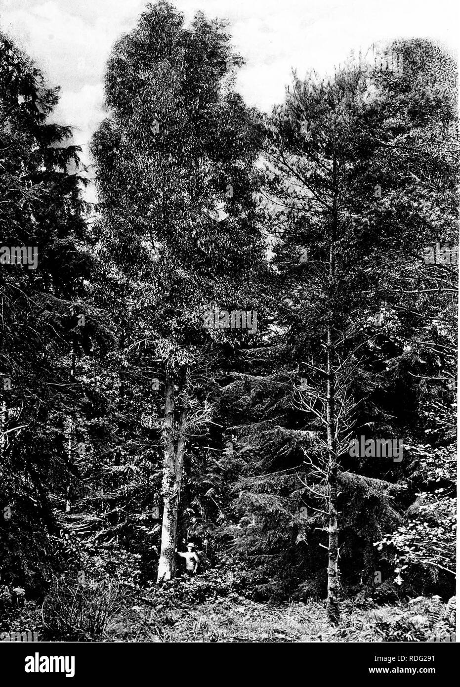 ac5765d9a9a5 The trees of Great Britain  amp  Ireland. Trees  Trees. Plate 364 .