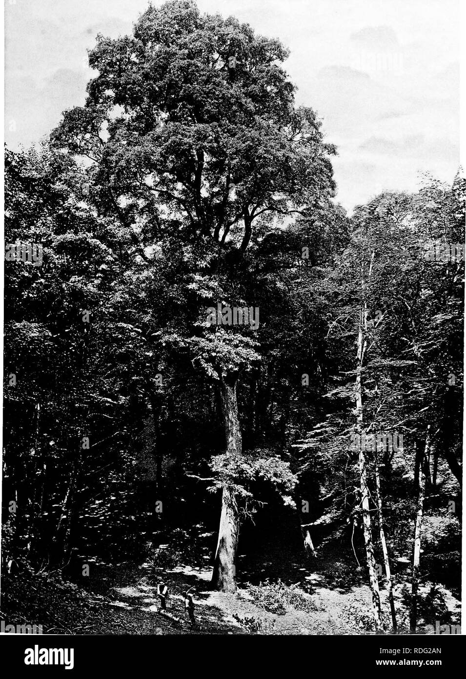 . The trees of Great Britain & Ireland. Trees; Trees. Plate 318. TURKEY OAK AT MAMHEAD. Please note that these images are extracted from scanned page images that may have been digitally enhanced for readability - coloration and appearance of these illustrations may not perfectly resemble the original work.. Elwes, Henry John, 1846-1922; Henry, Augustine, 1857-1930. Edinburgh, Priv. Print. - Stock Image
