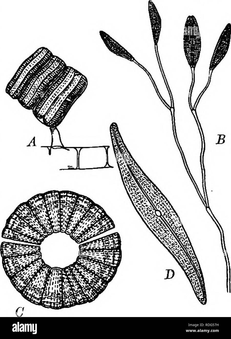 """. Foundations of botany. Botany; Botany. TYPES OF CRYPTOGAMS; THALLOPHYTES 241 in nitric acid, the cellulose wall and its contents may be destroyed and the markings of the siliceous shell more easily observed. Each diatom consists of a single cell. 272. Movements of Diatoms. — Living diatoms exhibit a peculiar power of movement. In the boat-shaped species the movement is much like that of a row-boat, forward or backward. THE STUDY OF SPIROGYRA 273. Occurrence. — Spirogyra, one of the plants commonly known as pond-scum, or «frog-spit,"""" occurs widely distributed throughout the country in po Stock Photo"""