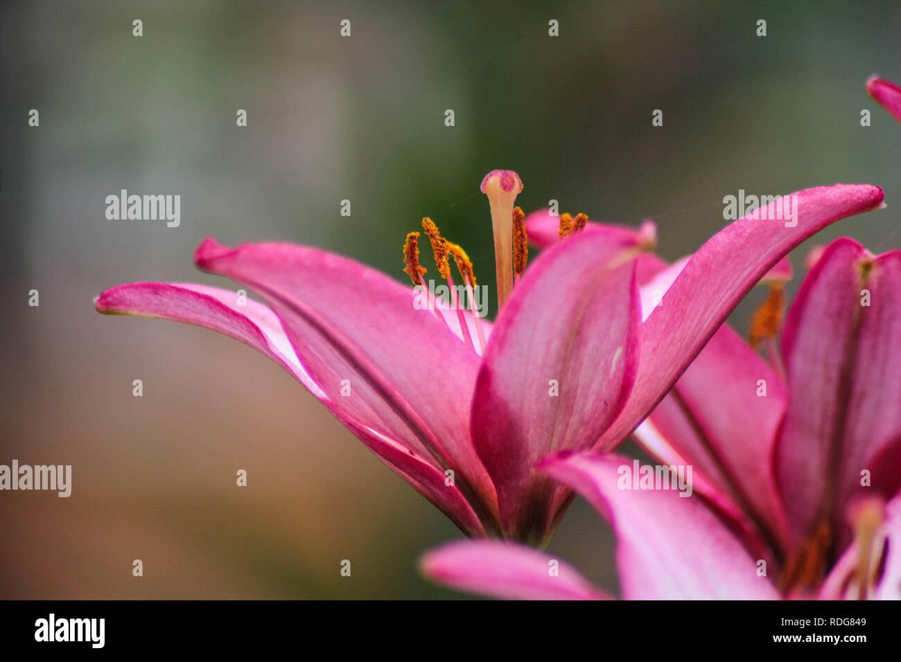 Blooming Lily Beautiful Blooming Summer Flower Flower Petals
