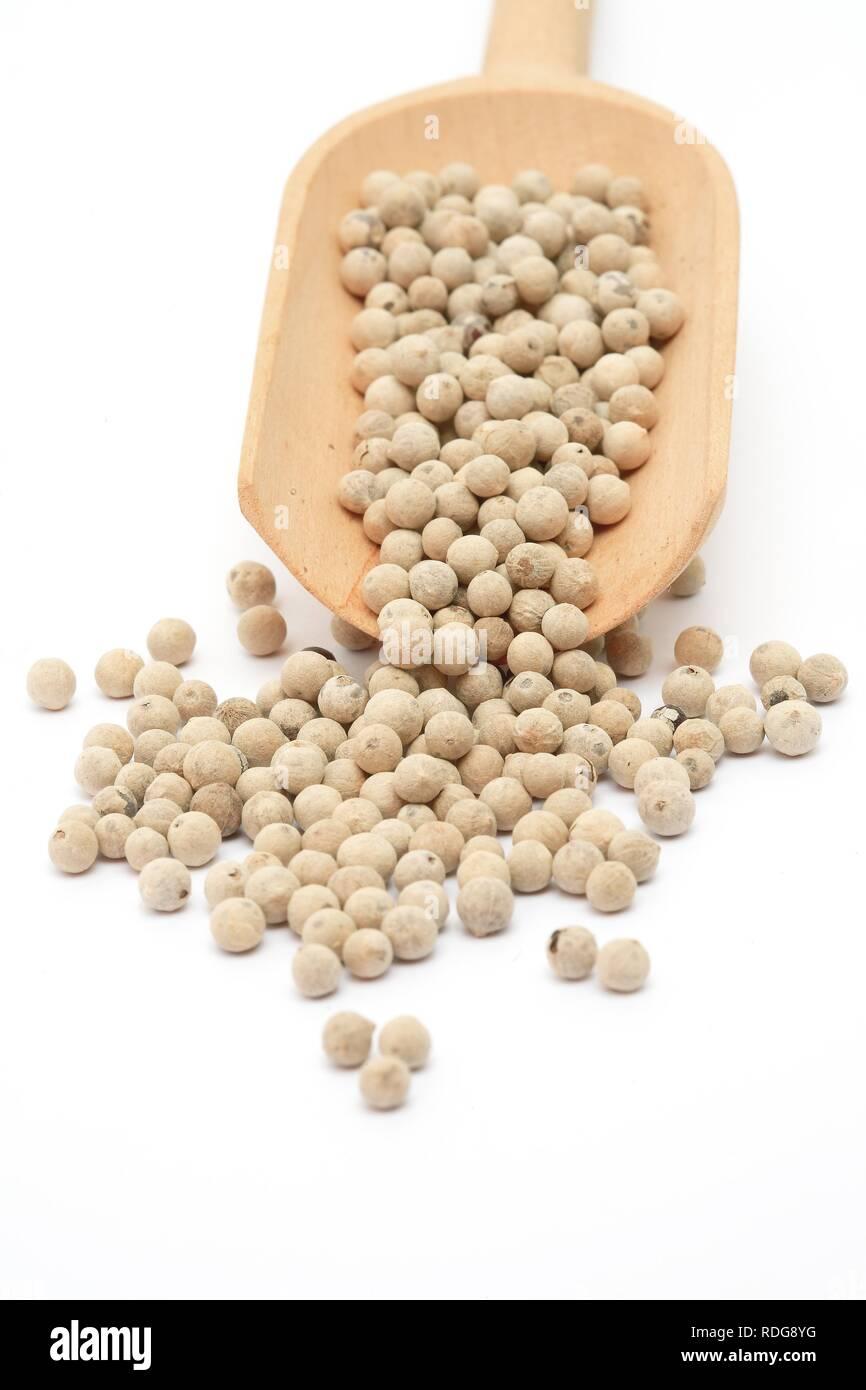 Peeled White Pepper (Piper nigrum), spice - Stock Image