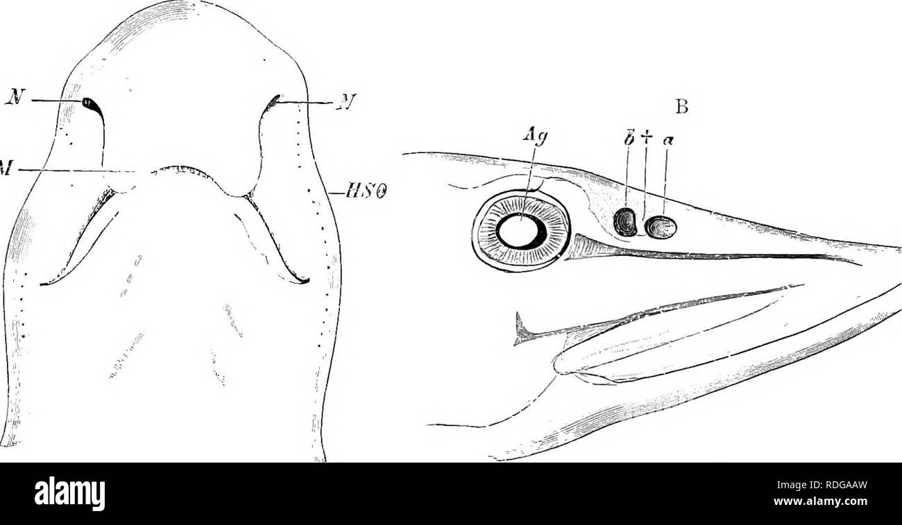Lamprey Mouth Stock Photos Lamprey Mouth Stock Images Alamy
