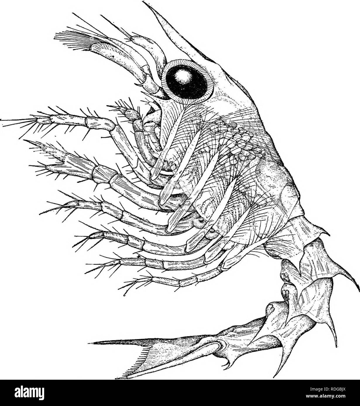 . Natural history of the American lobster... Decapoda (Crustacea); Lobster fisheries. NATURAI, HISTORY OF AMERICAN LOBSTER. THE FIRST LARVA. 329 [PL xxviu and text fig. 34.] When the lobster has successfully escaped from the egg capsule and shaken itself free from its cuticle, it emerges as a free-swimming animal and eventually rises to the surface, where it remains rising and sinking, but probably never far removed from the actual surface untU its pelagic life is over.. Fig. 34.—Fiist larva, or first swimming stage of the lobster in profile. For drawing colored to life, see plate xxvm; for na - Stock Image