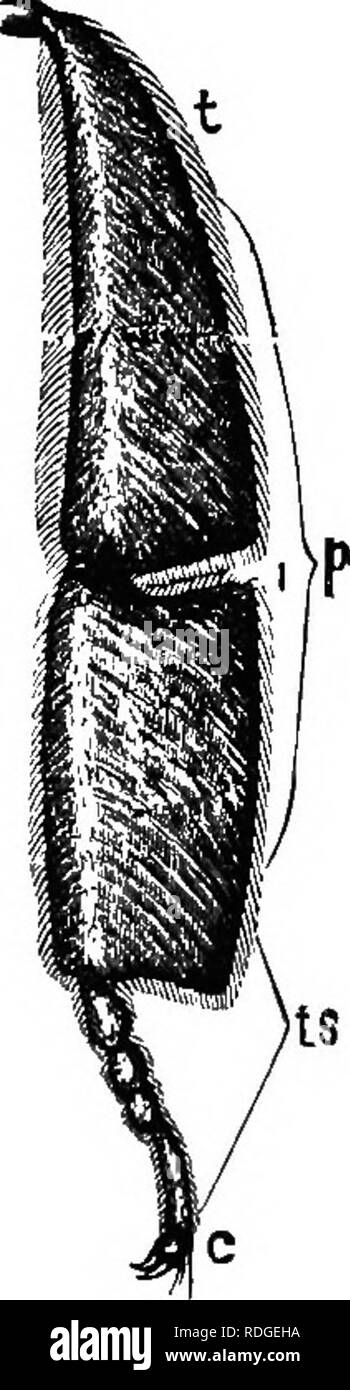 . The bee-keeper's guide; or, Manual of the apiary. Bees. Labium of Queen.—Original. a Ligula. d (I Paraglossa?. 6 Labial palpi.. t Tibia. t s Tarsal joints. Part of Leg of QueeiL, magnified, after Dmtcan. p Broadened tibia and basal tarsus. empty, even though Siebold thought that each of the one and one-half million of eggs that a queen may lay, receives two or three sperm-cells. I think it is now proved that but one sperm- cell enters each egg. The eggs, which, as Girard states, do not form as early in the ovaries as do the sperm-cells in the organs of the drone, which are matured while the  - Stock Image