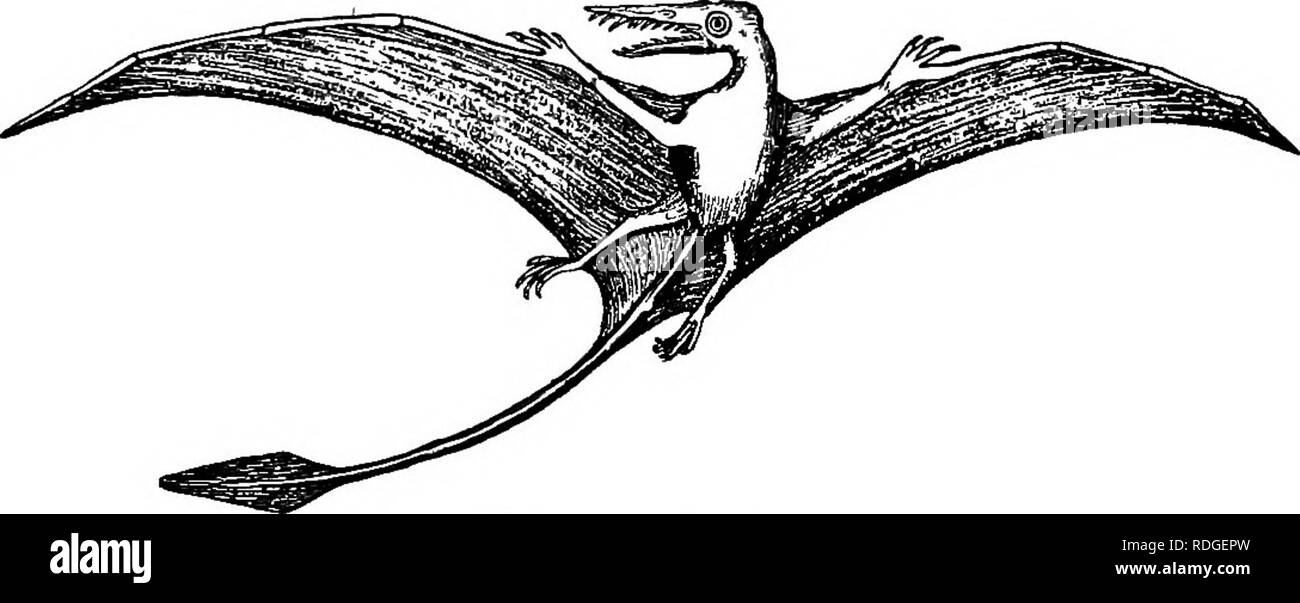 . A textbook in general zoology. Zoology. FiG. 230. — Land reptile of mesozoie times. rous, killing their fellows. Some of them had huge hind limbs on which they walked, dragging an immense tail behind, and holding the small front legs up like a kangaroo (Fig. 229). The one shown in Figure 230 walked on all four. Fig. 231. —Flying reptile of mesozoie times. legs and ^^as sometimes sixty feet long. A species of land reptile found in Colorado attained a length of seventy to eighty feet. More curious still were the flying reptiles. These were a. Please note that these images are extracted from sc Stock Photo