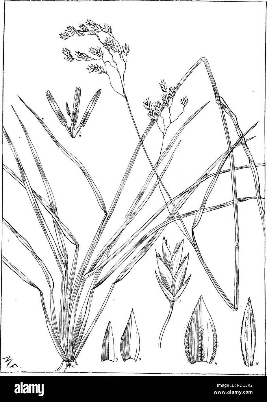 . Natal plants : Descriptions and figures of Natal indigenous plants, with notes on their distribution, economic value, native names, &c., / by J. Medley Wood and Maurice S. Evans. Published under the auspices of Natal Government and Durban Botanic Society. Botany. PLATE 454. POA BIN ATA. A/Mi.. Please note that these images are extracted from scanned page images that may have been digitally enhanced for readability - coloration and appearance of these illustrations may not perfectly resemble the original work.. Wood, John Medley, 1827-1914; Evans, Maurice S. (Maurice Smethurst), 1854-1920 - Stock Image