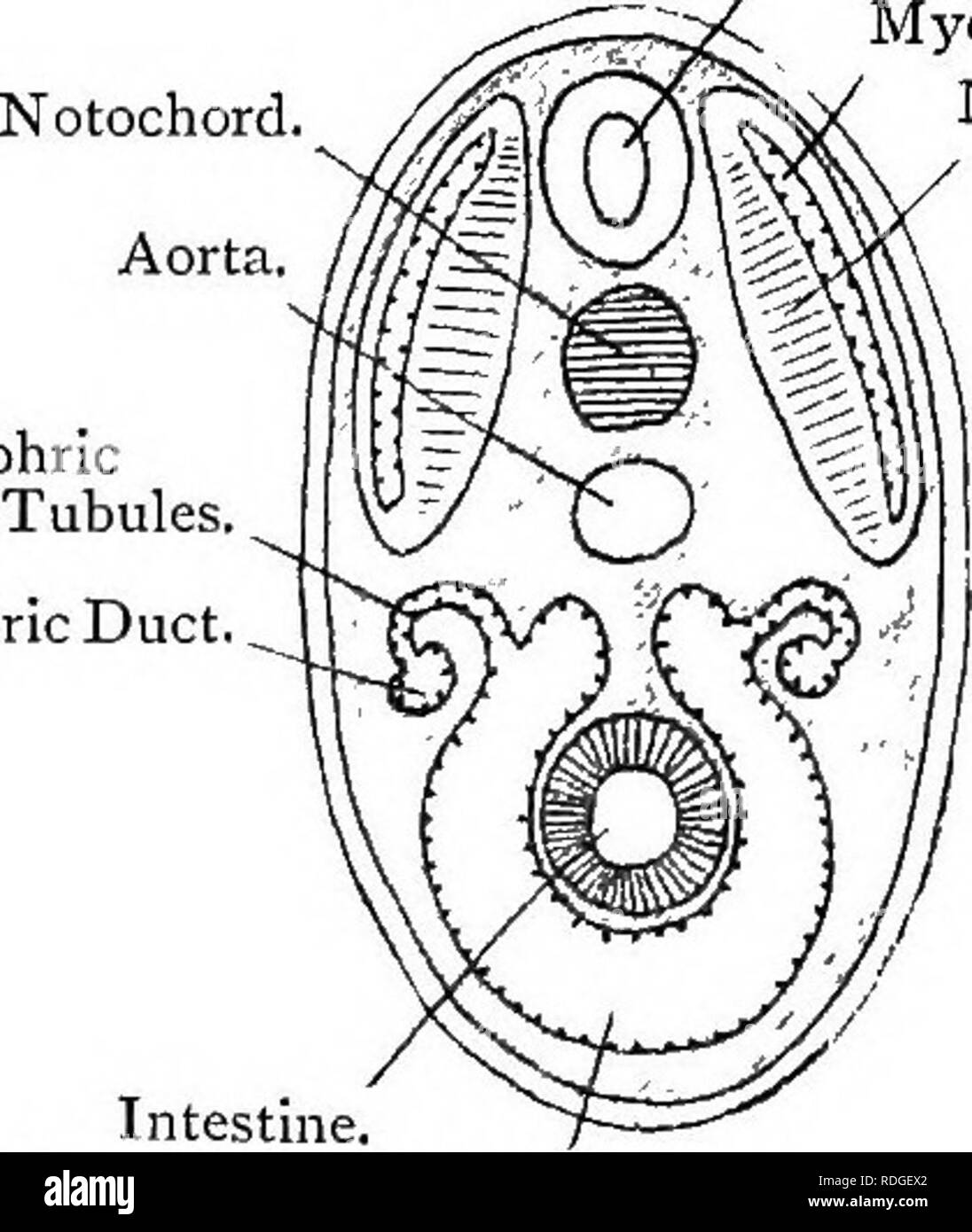elementary text book of zoology 24 chord at a ivity of the myotome Thoracic and Abdominal Cavity 24 chord at a ivity of the myotome early disappears and the ventral lement alone persists as a continuous perivisceral cavity fig 306
