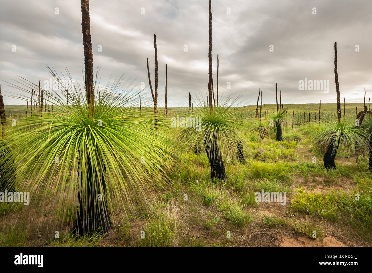 Heathland with a fascinating vegetation of Grass Trees. Stock Photo