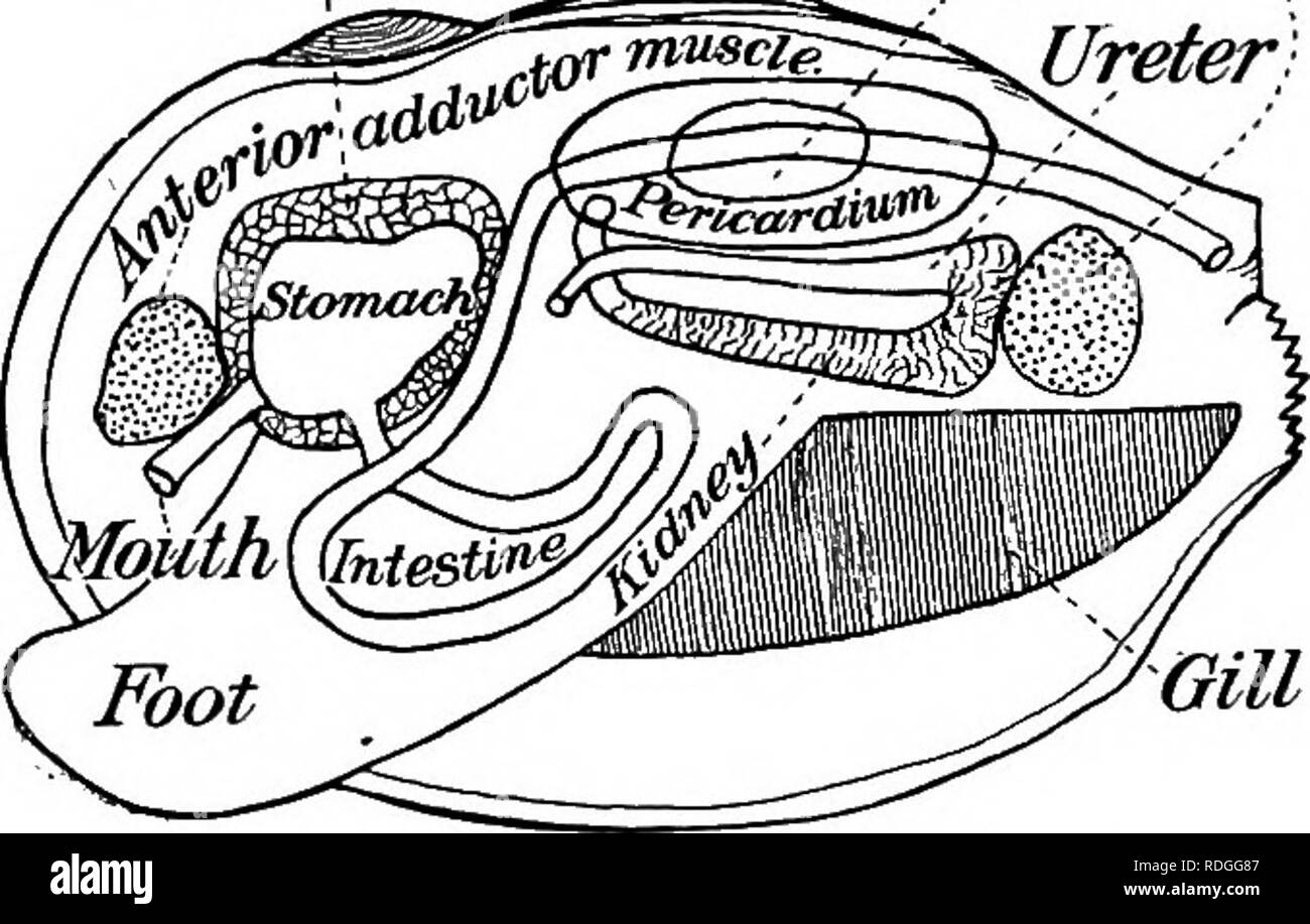 . A textbook in general zoology. Zoology. 108 MUSSELS, CLAMS, OYSTERS, SNAILS, SQUIDS slowly extended outward and downward into the mud and anchored there. Then the retractor muscles contract and pull the shell and body up to the foot, as it were. By a repetition of these movements of the foot the mussel covers considerable distances in the course of time. The alimentary canal and digestion. — The mouth is just under the anterior adductor muscle and between two pairs of soft flaps, the labial palps. It leads by a short gullet to the spherical stomach, which is surrounded by a dark green mass,  - Stock Image