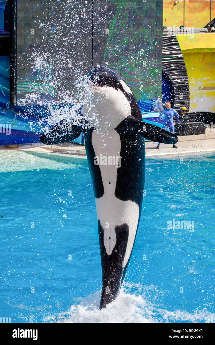 Killer Whale Orca jumping from the water at Sea World - Stock Image