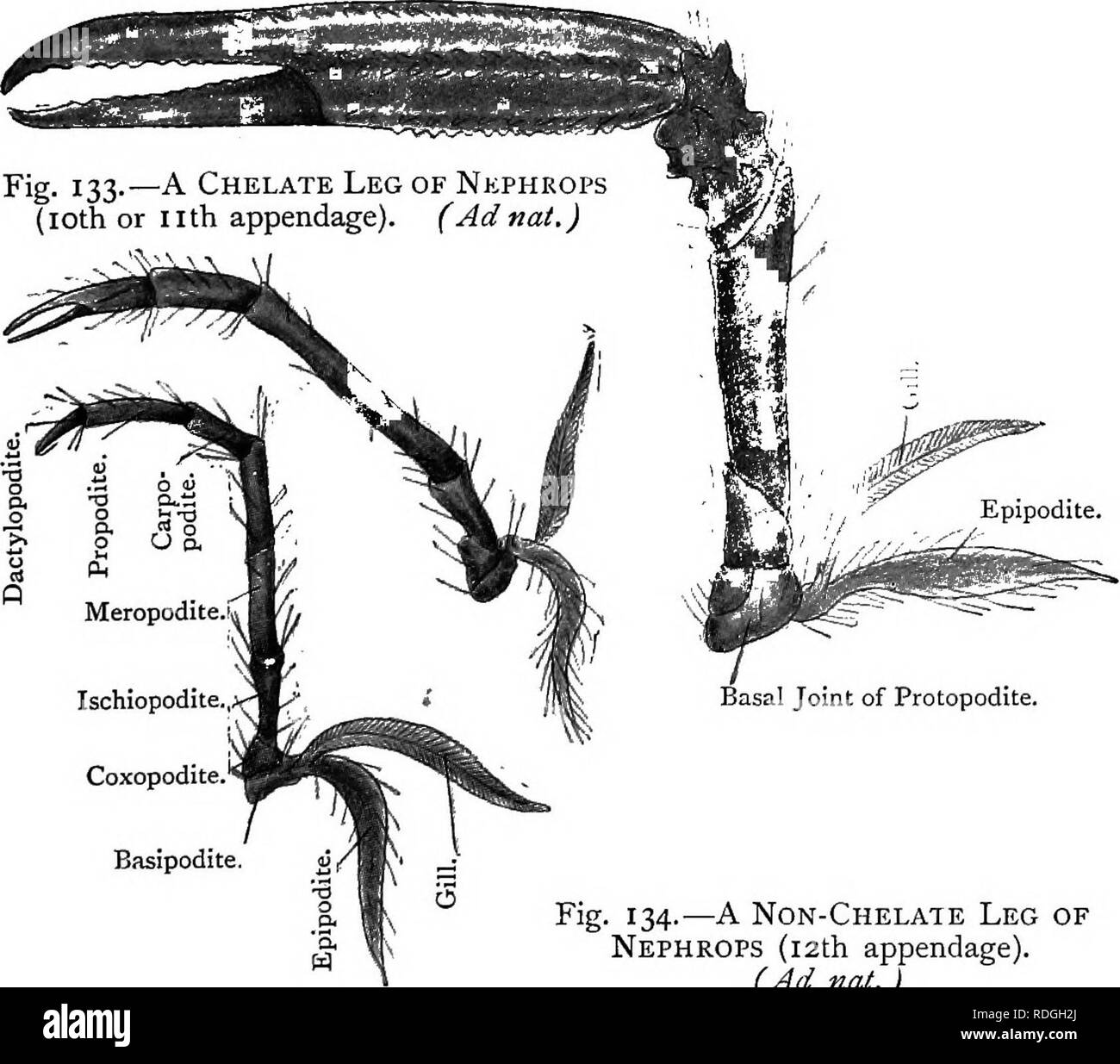. Elementary text-book of zoology. NEPHROPS. 209 will be on the basal joint of the anti-penultimate leg. In front of the legs are the chela, or pincers, usually asym- metric, as one is modified for cutting and the other for crushing. They are evidently large legs and do not differ essentially from a typical leg. Fig. 132.—A Chela of Nephrops (9th appendage). (Adnat.). Ischiopodite., Coxopodite.' Basipodite. Fig. 134.—A Non-Chelate Leg of Nephrops (12th appendage). (Ad nat.) In front of the chelae are three pairs of maxillipedes or foot-jaws. The second maxillipede may be examined first. It has - Stock Image
