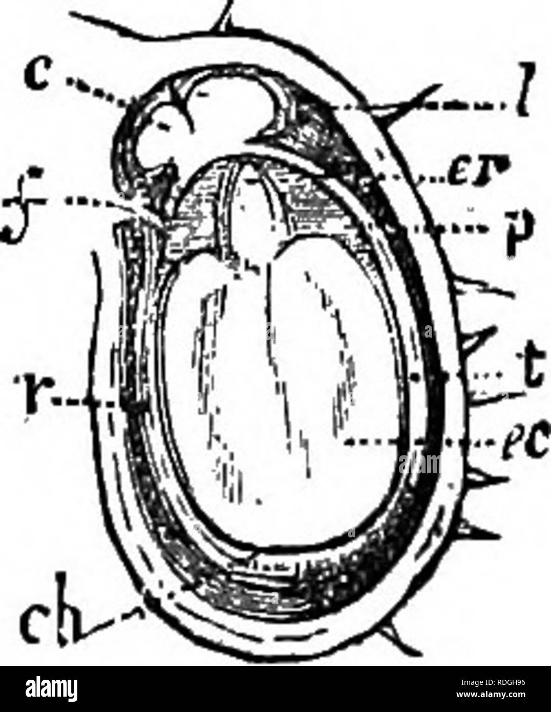 . A Manual of botany : being an introduction to the study of the structure, physiology, and classification of plants . Botany. SEED OR MA.TUEB OVULE. 329 it has been called by some an arillode. This arillode, after growing downwards, may be reflected upwards, so as to cover the foramen. On the testa, at various points, there are pro- â duced at times cellular bodies, which are not dependent on fertilisation, to which the name of strophioles (strophiolum, a little garland), or car- mioales {caruncula, a little piece of flesh), has been given, the seeds being strophiolate or carunculate. These t - Stock Image