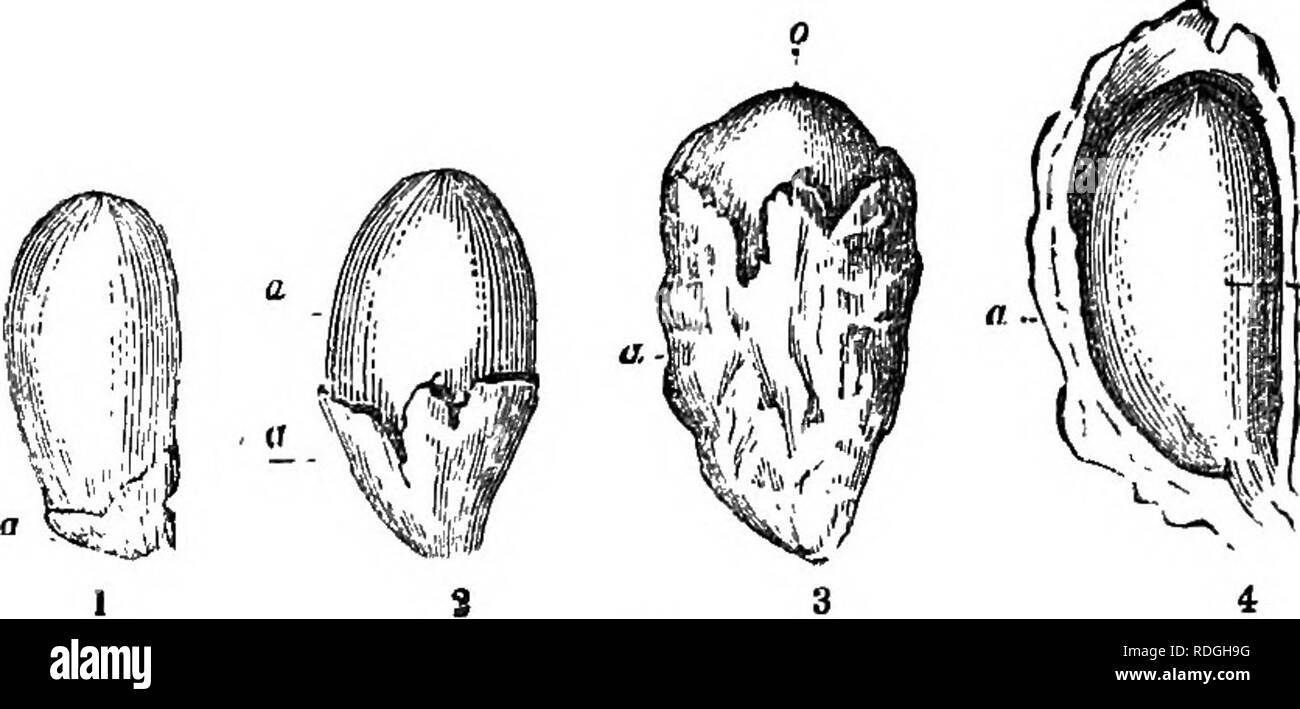 . A Manual of botany : being an introduction to the study of the structure, physiology, and classification of plants . Botany. 328 SEED OR MATURE OVULE. The Endopleuea is also cellular. It is often thin and trans- parent, but it sometimes becomes thickened. It is applied more or less closely to the embryo, and sometimes follows a sinuous course, forming folds on its internal surface, and separating from the episperm. When the embryo-sac remains distinct from the nucleus in the seeds, as in Nymphsea, Zingiber, Piper, etc., it forms a covering to which the name of vitellus (vitellus, yolk of an  - Stock Image