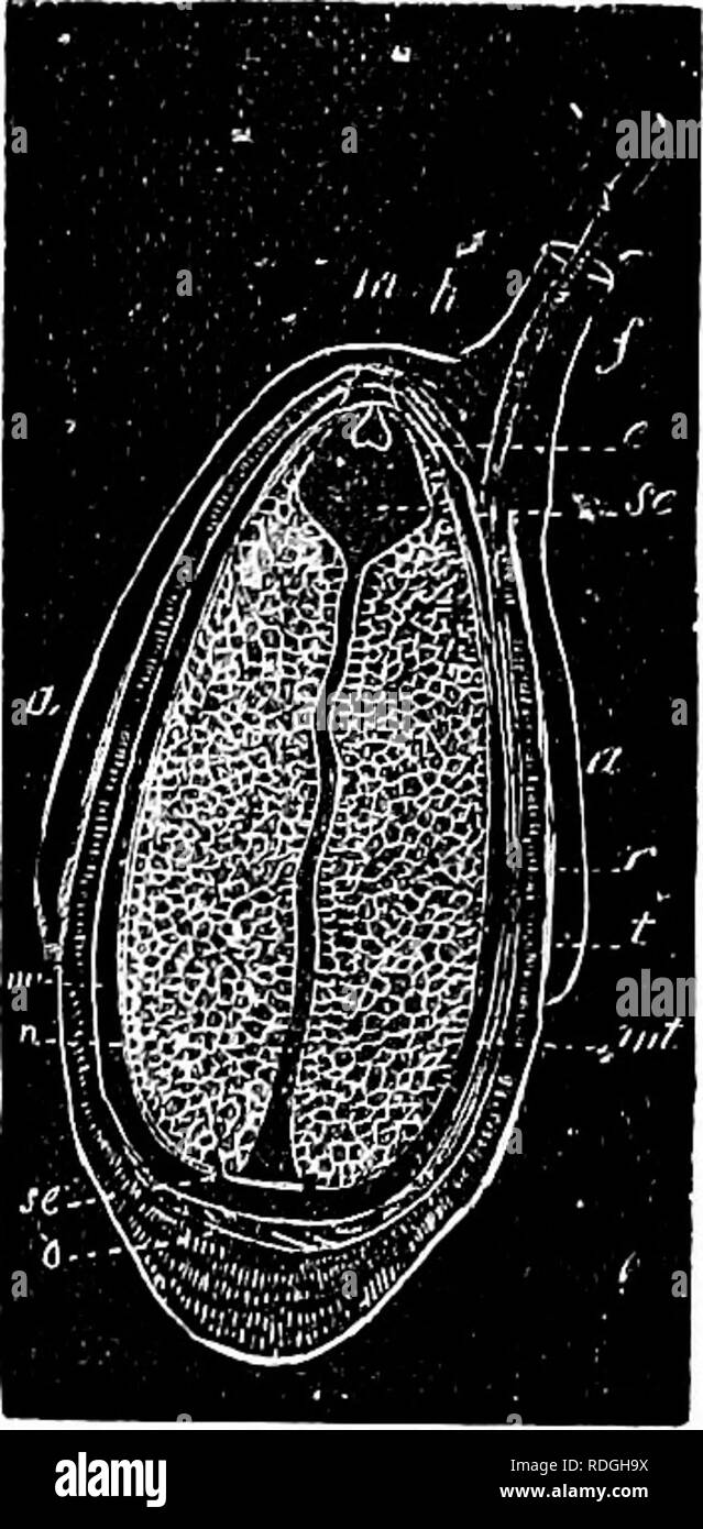 . A Manual of botany : being an introduction to the study of the structure, physiology, and classification of plants . Botany. SEED OK MATUEE OVULE. 327. in the secundine, so tliat in the ripe seed, all that can be detected is the embryo with two coverings. The general coveruig of the seed is called spermoderm (<S'7tsg/ji,a, seed, and S's^fj,a, covering). In order to correspond with the name applied to the covering of the fruit, it ought more properly to be denominated perisperm {•jrigi, around, and dvig/na, seed). This latter term, however, has been appropriated to a certain portion of the - Stock Image