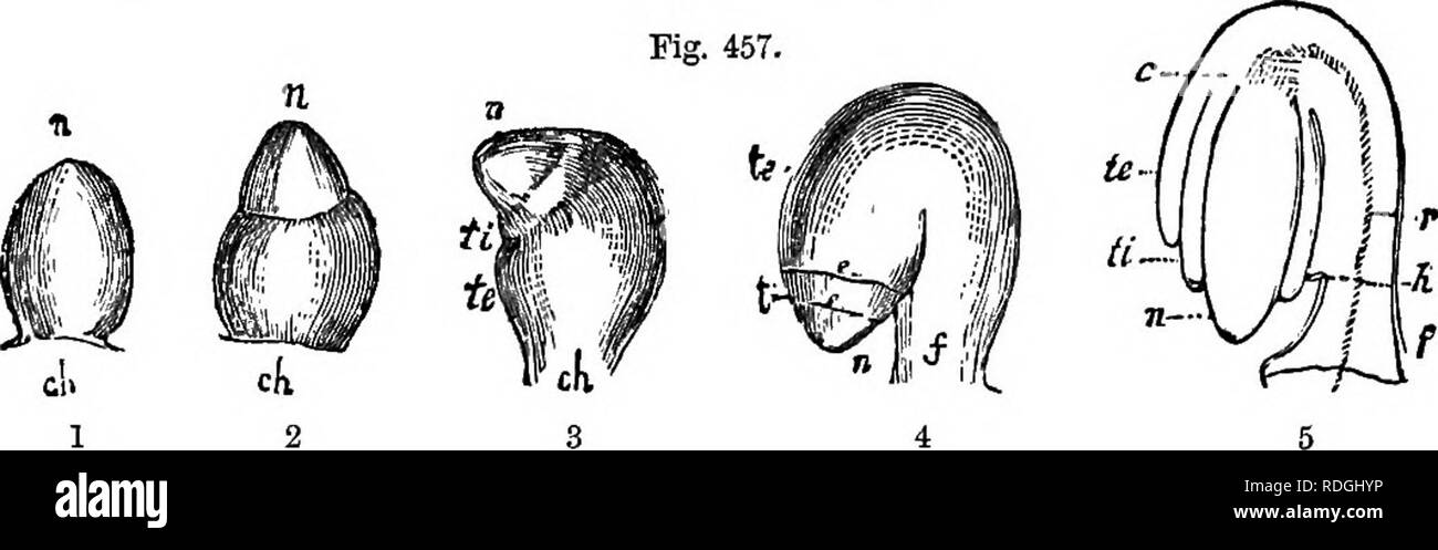 . A Manual of botany : being an introduction to the study of the structure, physiology, and classification of plants . Botany. 256 ESSENTIAL ORGANS—THE OVULE. When, in consequence of the deyelopment on one side, the ovule is so changed that its apex or foramen (fig. 457, 4, n) is brought into close apposition with the hUum (fig. 457, 5, h), and the chalaza is also. Please note that these images are extracted from scanned page images that may have been digitally enhanced for readability - coloration and appearance of these illustrations may not perfectly resemble the original work.. Balfour, Jo - Stock Image