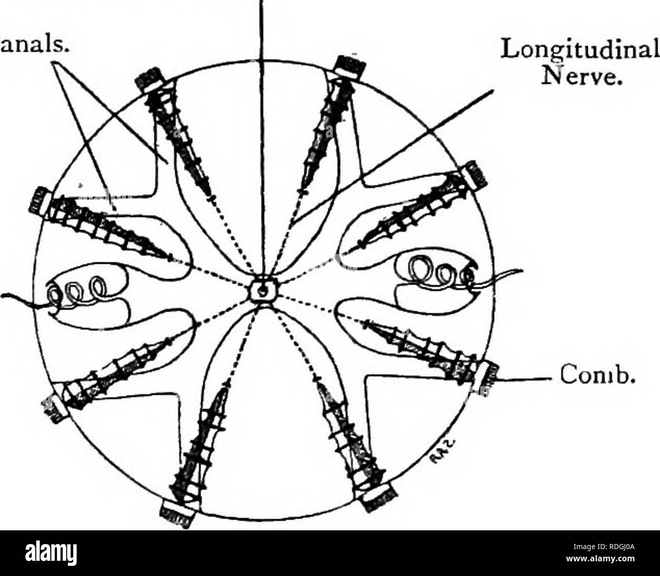 . Elementary text-book of zoology. 132 CCELENTERATA. Externally, Cydippe is bi-plano-symmetric, for the plane passing through the tentacles and their sheaths, called the coronal plane, differs from that perpendicular to it, or the sagittal plane. Both planes, however, divide the animal into symmetric halves. The gullet is flattened and Fig. 66.—Aboral ViEViT of Cydippe. Aboral Sense-organ. Horizontal Canals. (After Chun.) Tentacle. Comb. Fig. 67.—Adhesive Cells of Cydippe. (After Hertwig.) Highly Magnified. Head. elongated in the sagittal plane, as in Acthua. Each of these planes corresponds t - Stock Image