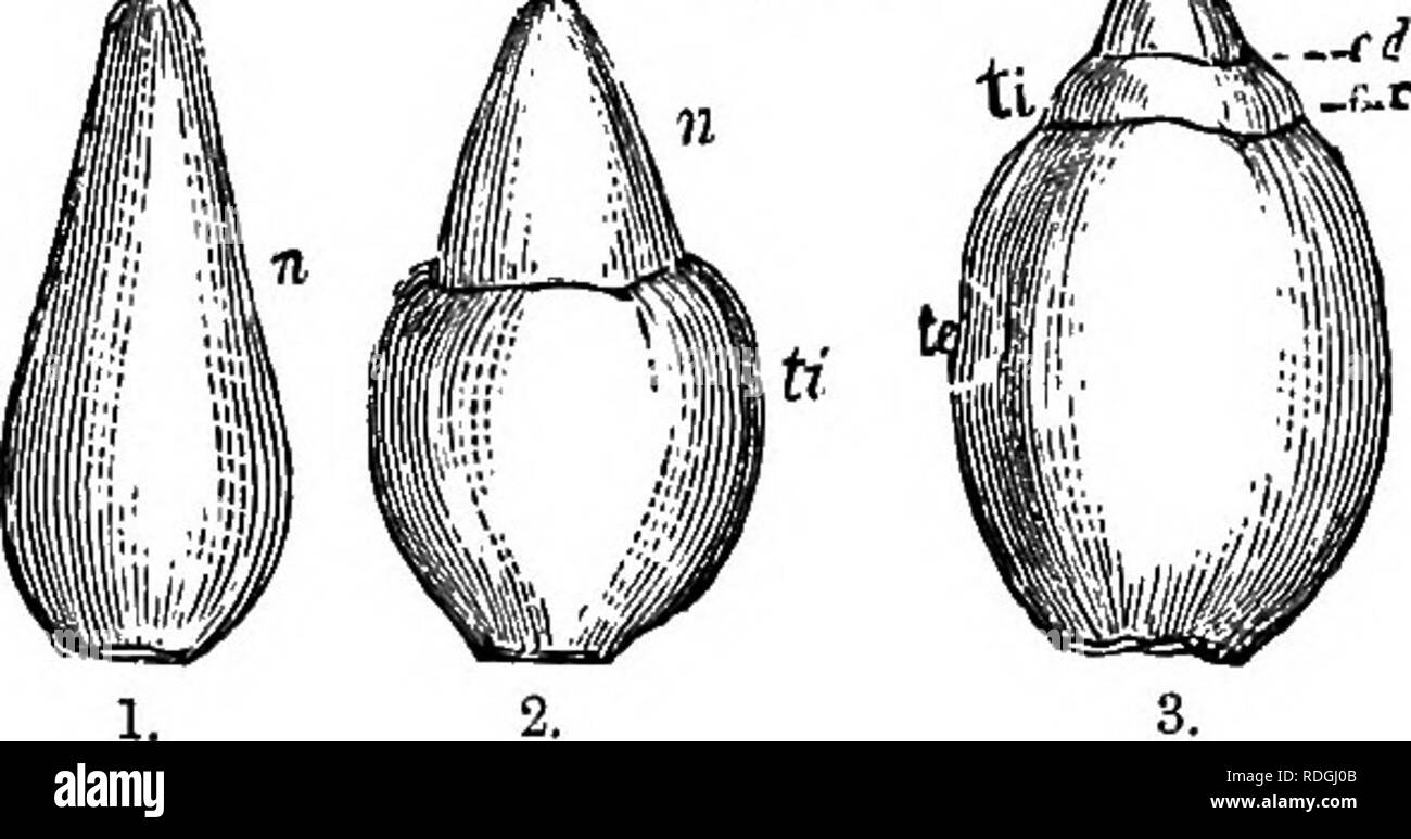 . A Manual of botany : being an introduction to the study of the structure, physiology, and classification of plants . Botany. 254 ESSENTIAL ORGANSâTHE OVULE. besides the single covering (fig. 454, 2, ti), has another developed sub- sequently (fig. 454, 3, U), which gradually extends over that first formed, and ultimately covers it completely, except at the opening at the apex. There are thus two integuments to the nucleus, an outer and an inner, called respectively .pnOTme, te, and secundine, ti. The name tercine has been given to the cells of the nucleus which surround the embryo-sac (fig. 4 - Stock Image