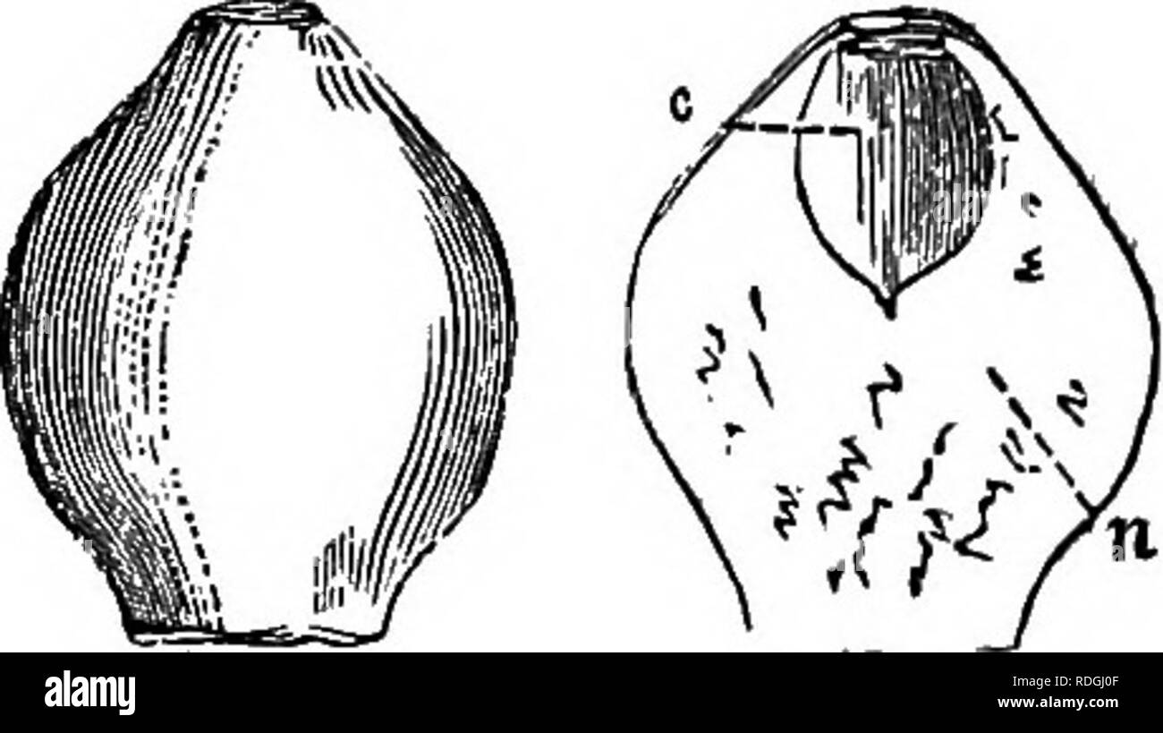 . A Manual of botany : being an introduction to the study of the structure, physiology, and classification of plants . Botany. ESSENTIAL ORGANS—THE OVULE. 253. Fig. 460. Fig. 451. {funis, a cord), umbilical cord, ' or podosperm (orous, a foot, and enti^fia, a seed). This cord sometimes becomes much elongated after fertilisation. The placenta is sometimes called the trophospertn (r^ifio, I nourish). The part by which the ovule is attached to the placenta or cord is its base or hilum, the opposite extremity being its apex. The latter is frequently turned round in such a way as to approach the ba - Stock Image