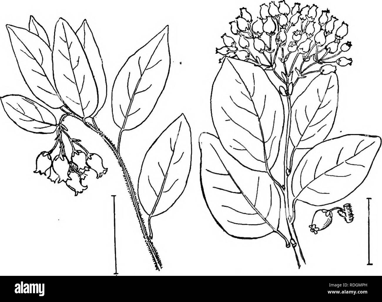 the 411 stock photos the 411 stock images page 9 alamy  ornamental shrubs of the united states hardy cultivated shrubs arctostaphylos
