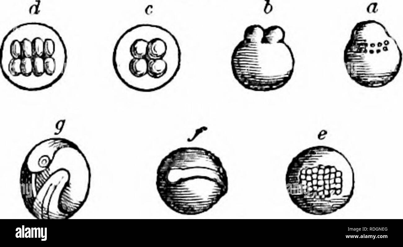 . On the anatomy of vertebrates. Vertebrates; Anatomy, Comparative; 1866. 602 ANATOMY OF VERTEBRATES. a minutely granular matter, with clear corpuscles, vitelline cells, and oil-particles: it projects from the surface of the yolk, fig. 422, a, and becomes transparent: the vitelline and oil-globules, aggregating at its base, buoy it up. The formation of two hyaline centres is followed by the cleavage of the germinal layer into two equal parts, ib. h, and these are next cleft at right angles into four, ib. c. In the Tench this occurred about half an hour after the rising of the germ-layer. Each  - Stock Image