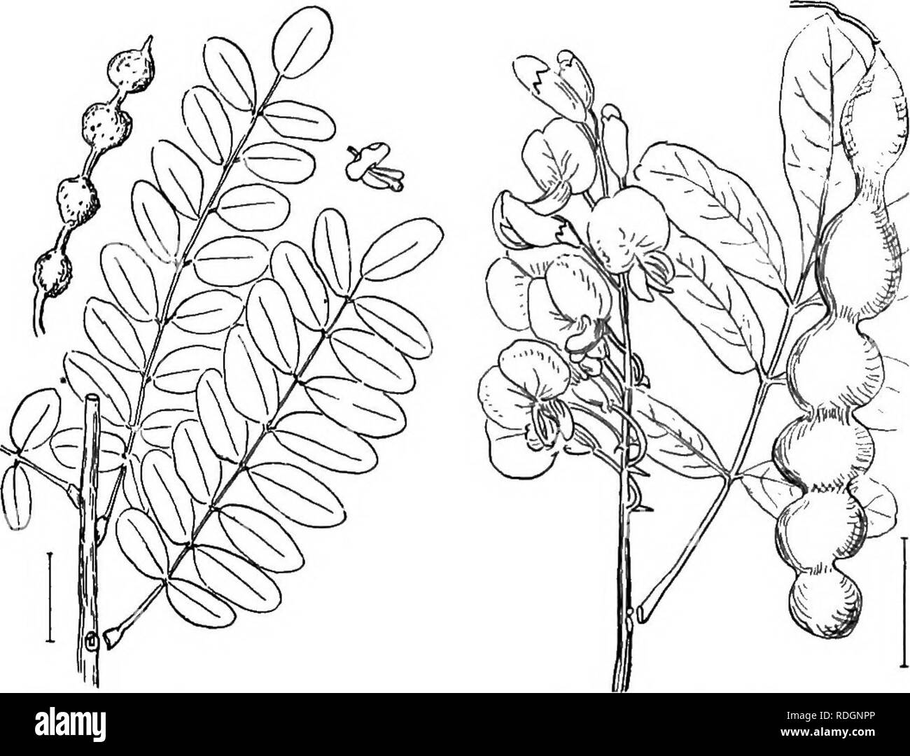 . Ornamental shrubs of the United States (hardy, cultivated). Shrubs. SOPHORA 111 J. Small, slightly hairy leaves. Evergreen Sumach (124) — RIius integrifblia. J. Larger and smoother leaves. Rhus ovita. Sophbra. The Sophoras form a rather large group of evergreen and deciduous trees, shrubs, and herbs, but few of them are in cultivation in America. The leaves are alternate, odd-pinnate, and in the different species range in number of blades from 5 to over 50. The clustered white, pinkisli, purplish, or yellow pea-like flowers are in most species less than an inch long, but in one of the evergr - Stock Image