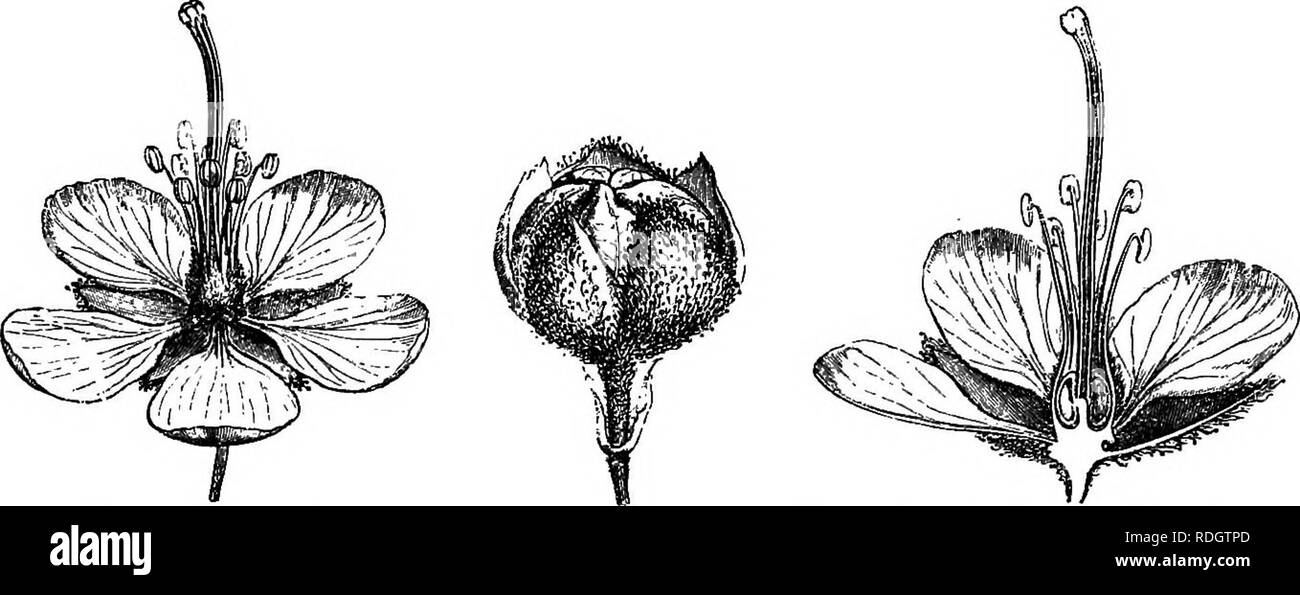 . The natural history of plants. Botany. 2 NATURAL HISTORY OF PLANTS. bears, from below upwards, a calyx of five sepals, and a corolla of five alternate petals, imbricated in prsefloration.^ The androceum is BiebersUinia Emodi.. Fig. 3. Flower (f). Fig. 2. Bud (a). Fig. 5. Longitudinal section of flower.. Please note that these images are extracted from scanned page images that may have been digitally enhanced for readability - coloration and appearance of these illustrations may not perfectly resemble the original work.. Baillon, Henri Ernest, 1827-1895; Hartog, Marcus Manuel, 1851-. London,  - Stock Image