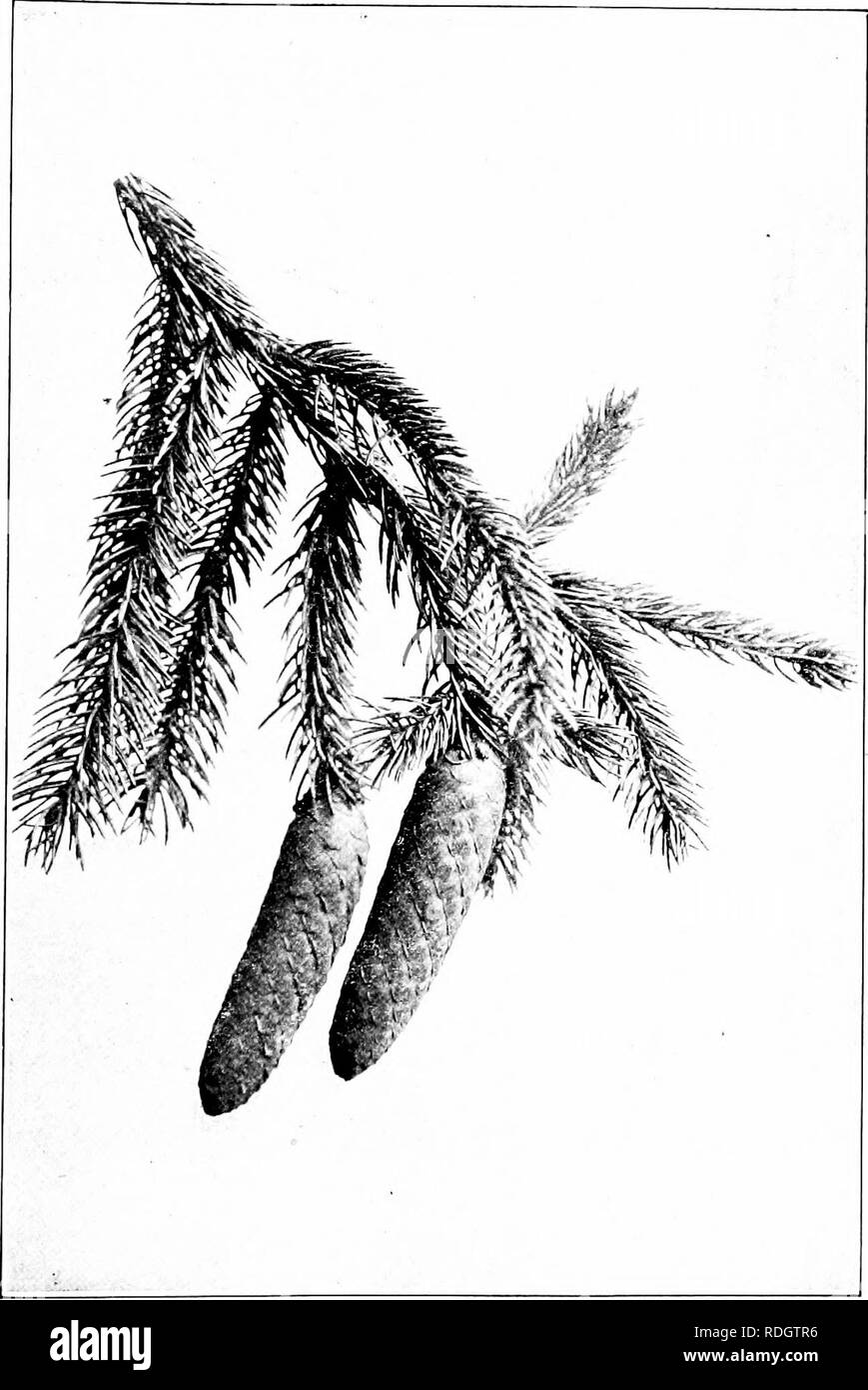 . Our native trees and how to identify them; a popular study of their habits and their peculiarities. Trees. NOKWAY bPKUCi. Fruiting Spray of Norway Spruce, Picea exceha. Cones 4' to 6' long.. Please note that these images are extracted from scanned page images that may have been digitally enhanced for readability - coloration and appearance of these illustrations may not perfectly resemble the original work.. Keeler, Harriet L. (Harriet Louise), 1846-1921. New York, C. Scribner's Sons - Stock Image