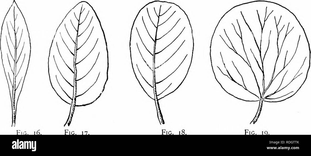 . Our native trees and how to identify them; a popular study of their habits and their peculiarities. Trees. Fig. io. Fig. ii. Fig. 12. Fig. 13. Fig. 14. Fig. [^. Fig. 17 F[C. 19. The principal forms found in the leaves of trees are the following : Needle-shaped, like the leaves of the Pine. (Fig, lo.) Linear, a narrow elongated form. (Fig. ii.) Oblong, two or three times longer than wide with sides nearly parallel. (Fig. 12.) Elliptical, oblong with a flowing outline, the two ends alike in width. (Fig. 13,) Oval, broadly elliptical. (Fig. 14.) Lanceolate, broader at base than apex, but narrow - Stock Image