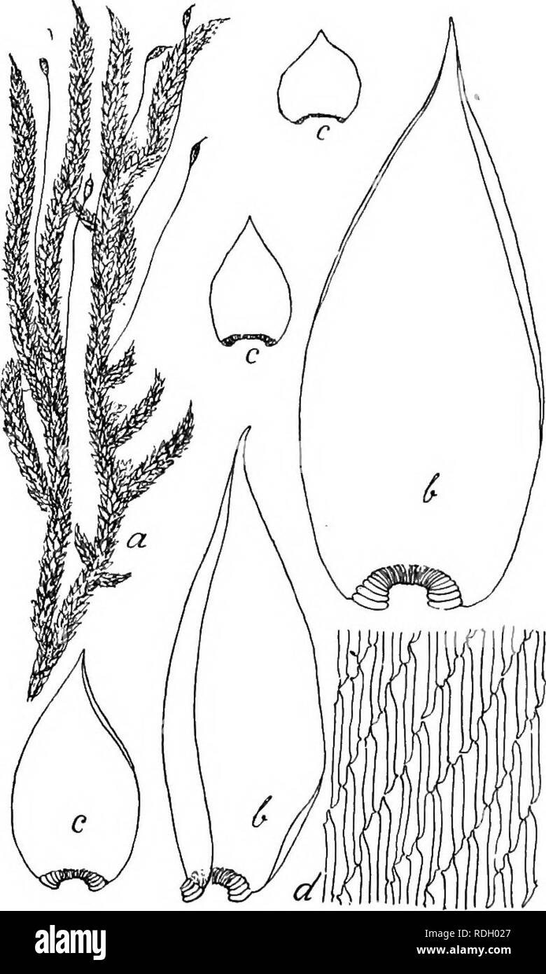 """. Flore de Buitenzorg. Botany. 1300 Mg. 209. Pungentella turgida C. MiiLL. in Engl. Bot. Jahrb. -1896, p. 330. ? Stereodon titrgidus Mitt. M. Ind. or p. 196 (1859). Sematophyllum turgidum (Dz. Mb.) Jaeg. in Adbr. II, 447 (1875). Exsiccata: M. Fleischer, M. Archip. Ind. N"""". 300 (1902). .Zweihausig. Getrenntrasig. d Pflanzen in eigenen Rasen, cT Blaten am secundaren Stengel und aststandig, sehr klein, knospenformig, ohne Paraphysen, Hiillblatter oval, kurz aus- gefressen gezahnelt, meist dreispitzig. 9 Bluten langlich-knospen- formig, innere Hiillblat- ter scheidig, ovallanglich, rasch in e Stock Photo"""