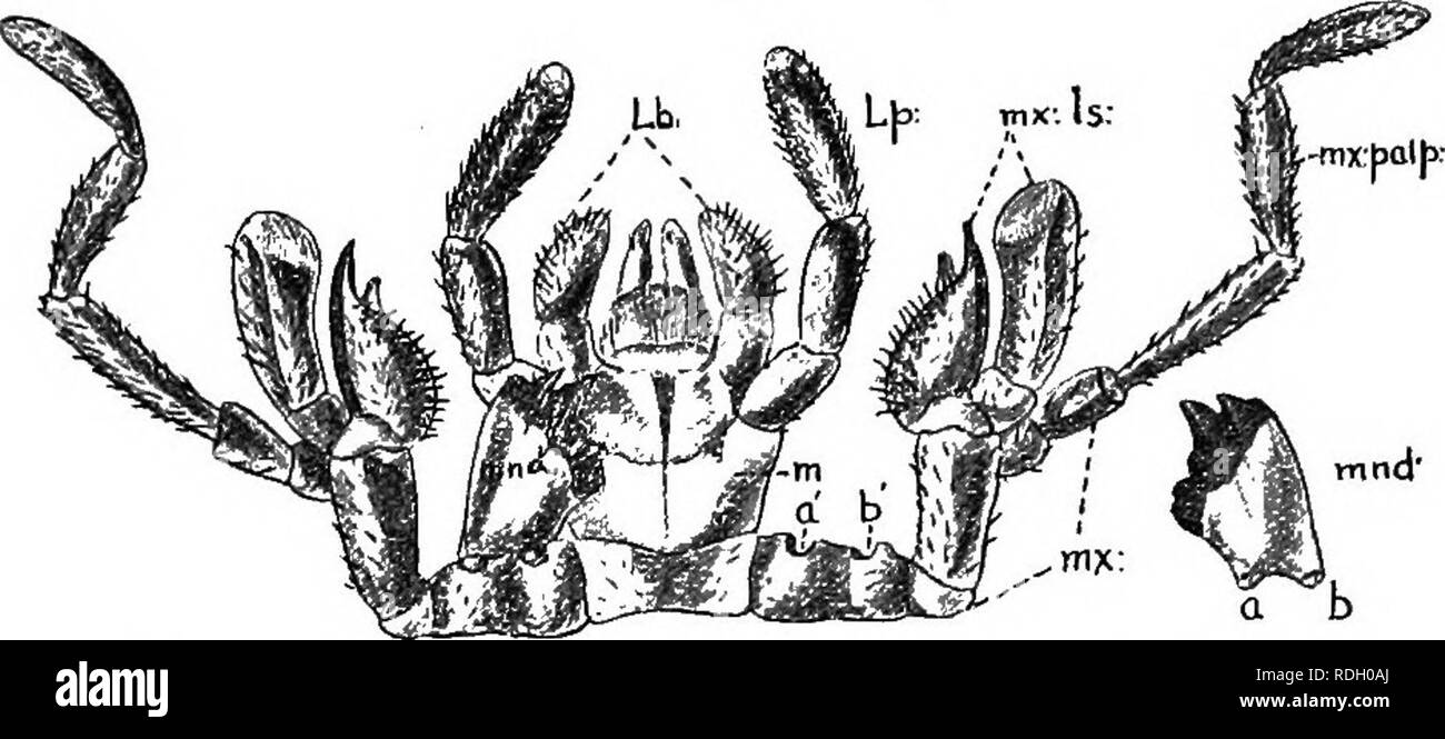 """. An introduction to zoology, with directions for practical work (invertebrates). 208 INTRODUCTION TO ZOOLOGY labium or """" lower lip,"""" which bounds the mouth on the lower side. The labium also bears a pair of processes known as the. Fig. 1.39.—The Mandible, Maxillae, and Labium of a Cockroach. mnd, mandible; a & has been removed from a' b'; mx, maxilla; TtixUs, maxillary lobes; mx.palp, maxillary palp ; m, mentum bearing the labial palp, Lp, and the labium, Lb. The central lobe of the labium, the lingua, can be faintly seen. labial palps, and attached to it is a central lobe known - Stock Image"""